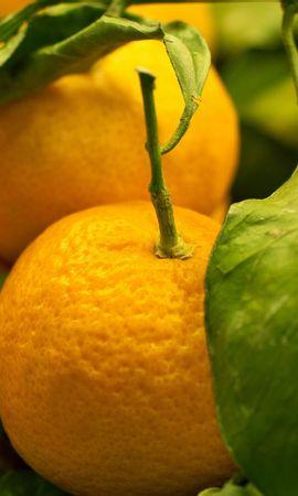 37936 descargar fondo de pantalla Plantas, Frutas, Naranjas: protectores de pantalla e imágenes gratis