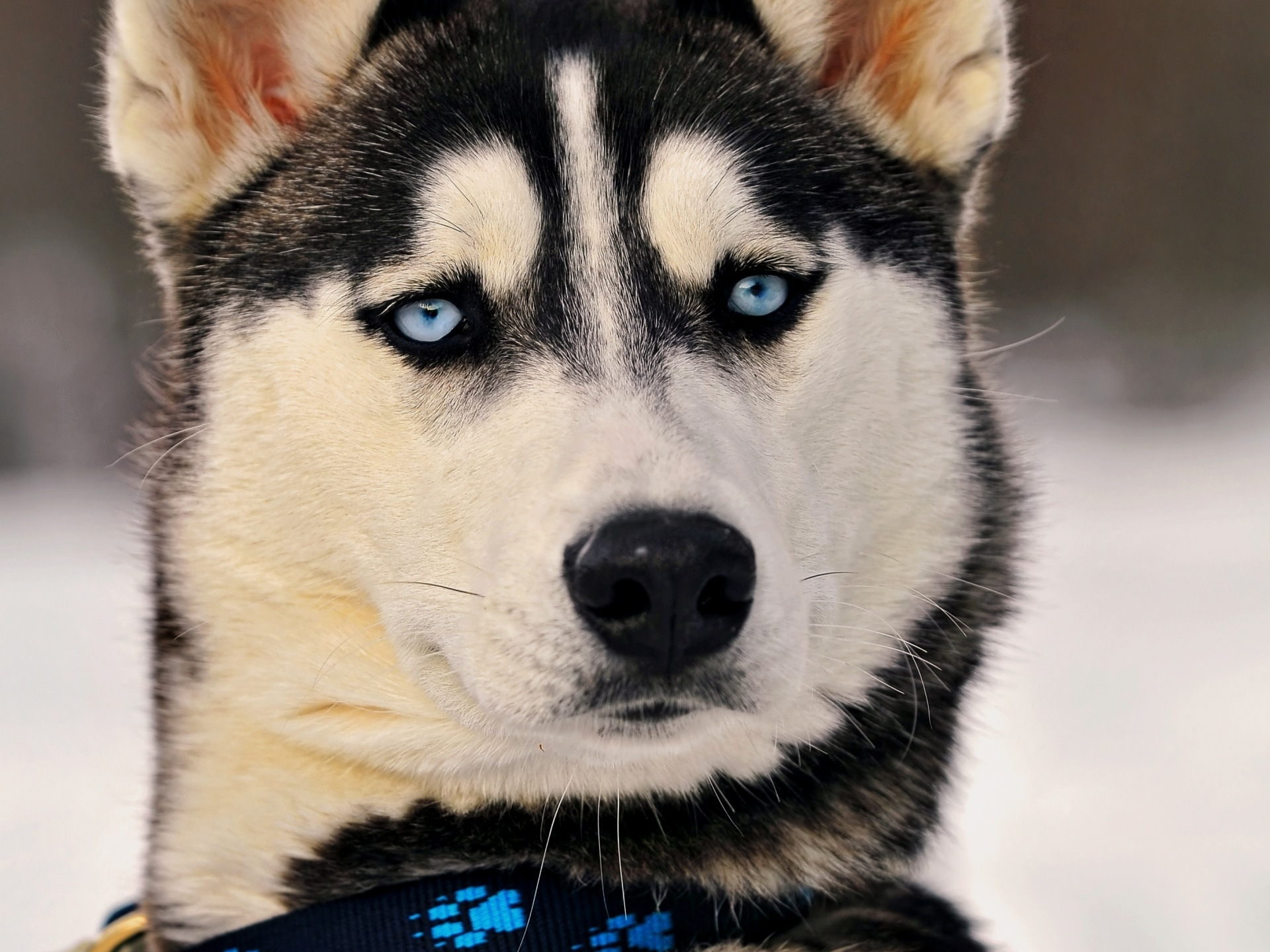 118295 Screensavers and Wallpapers Husky for phone. Download Animals, Dog, Muzzle, Husky, Blue Eyed, Blue-Eyed pictures for free