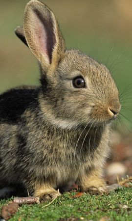 5991 download wallpaper Animals, Rabbits screensavers and pictures for free