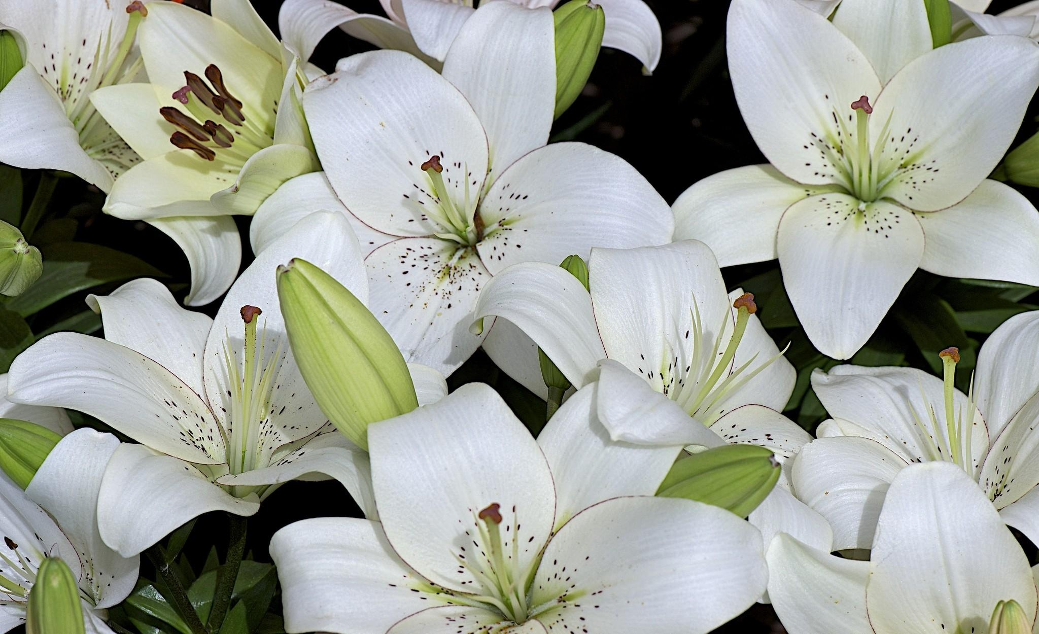 127873 download wallpaper Flowers, Lilies, Buds, Lot, Snow White screensavers and pictures for free