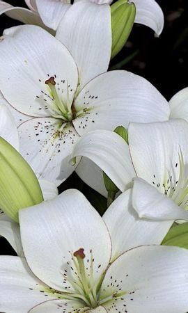 127873 скачать обои Цветы, Лилии, Бутоны, Белоснежные, Много - заставки и картинки бесплатно
