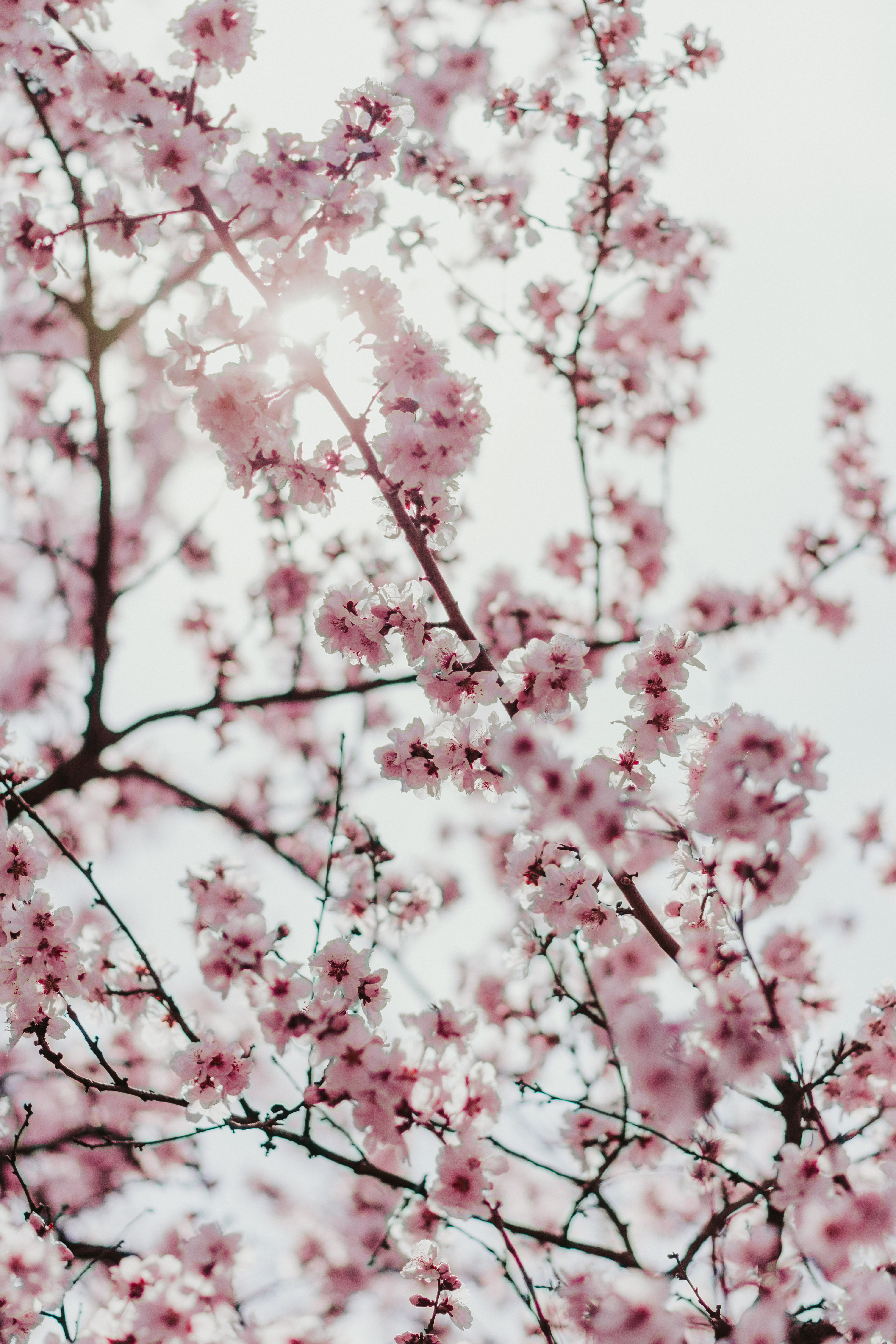 113874 Screensavers and Wallpapers Sakura for phone. Download Flowers, Sakura, Branches, Bloom, Flowering, Spring pictures for free