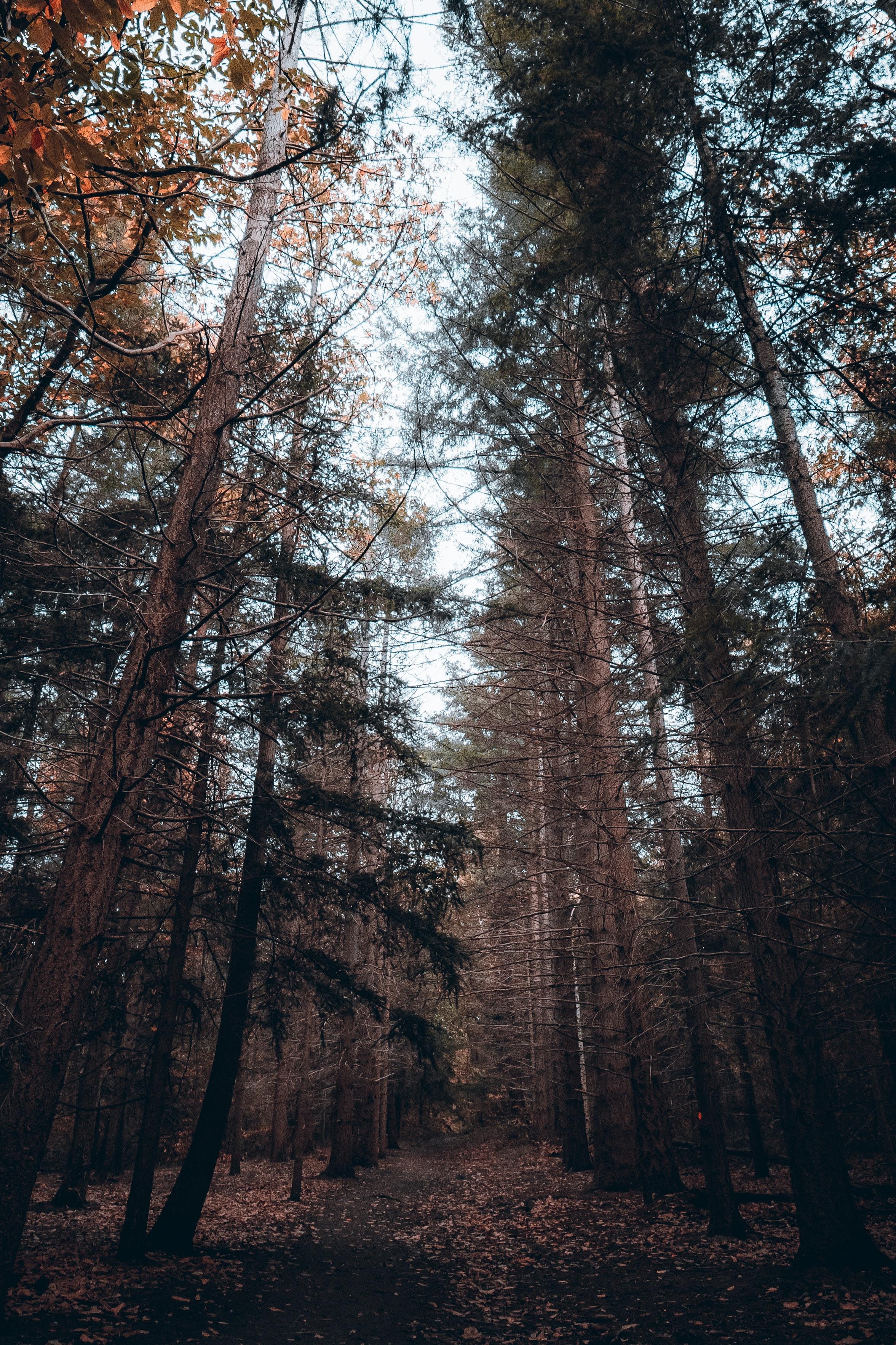 157759 скачать обои Природа, Лес, Деревья, Хвойный, Сосны - заставки и картинки бесплатно