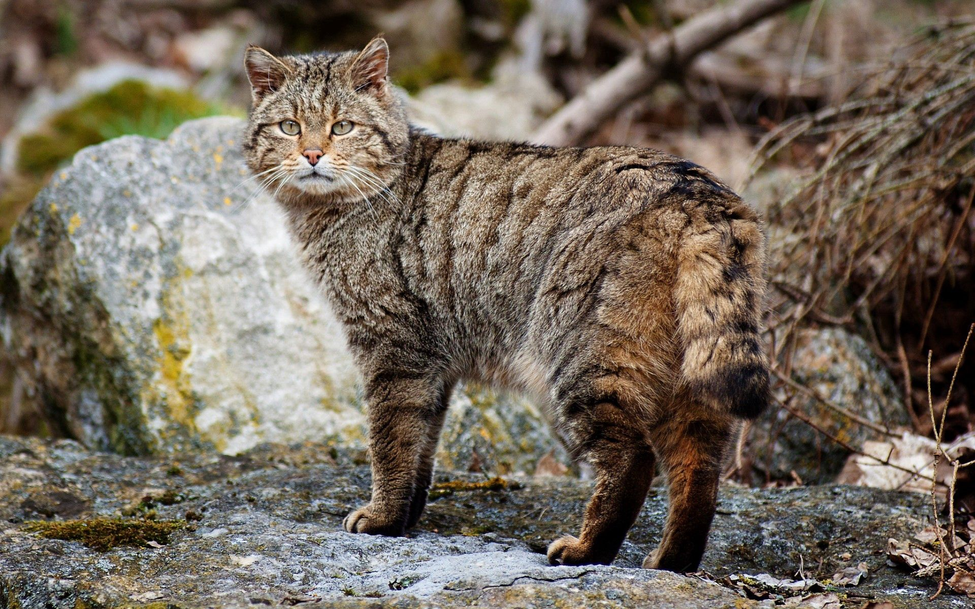84919 download wallpaper Animals, Cat, Striped, Stroll, Stones screensavers and pictures for free