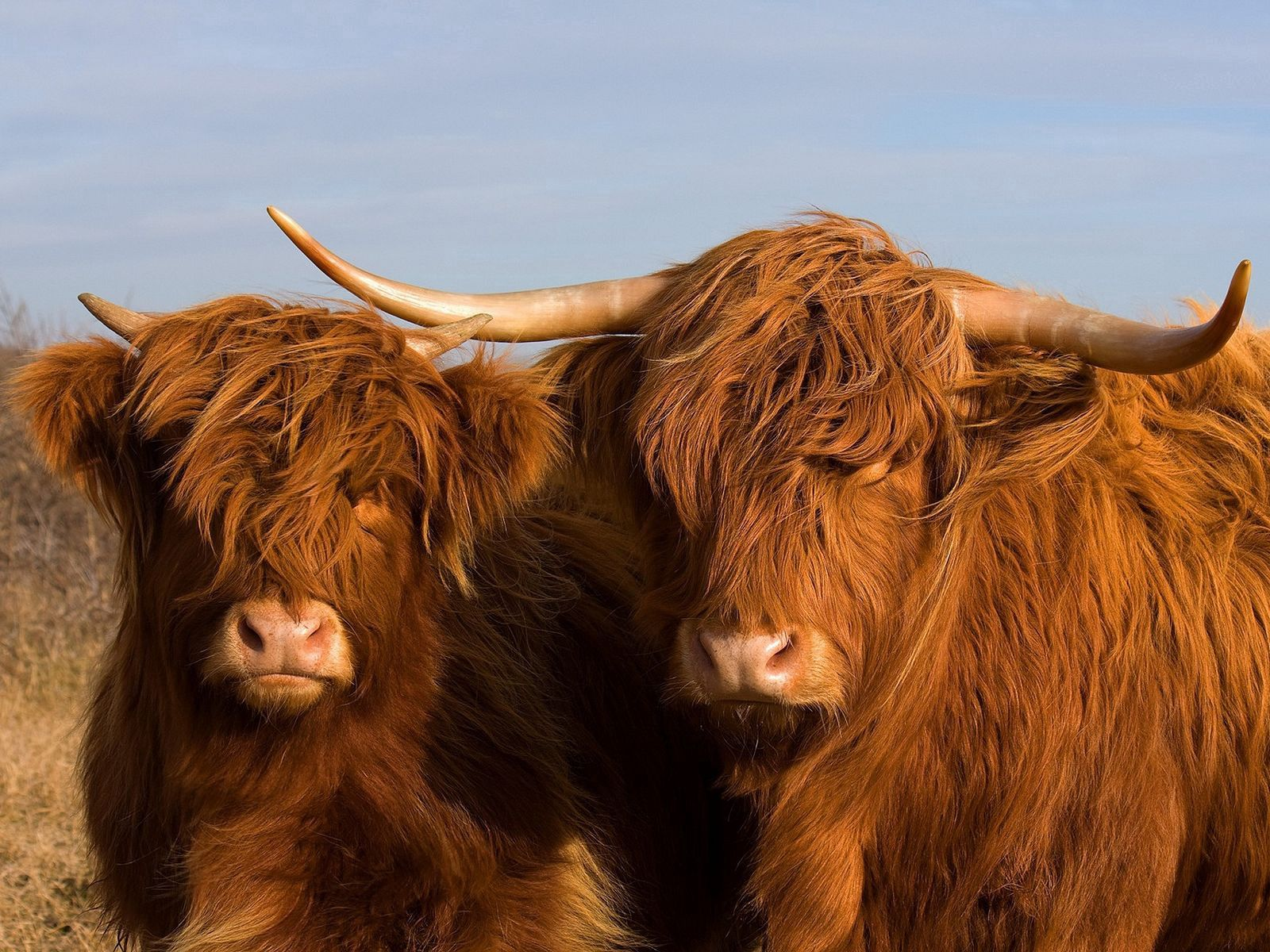 94566 download wallpaper Animals, Bulls, Couple, Pair, Horns, Wool screensavers and pictures for free