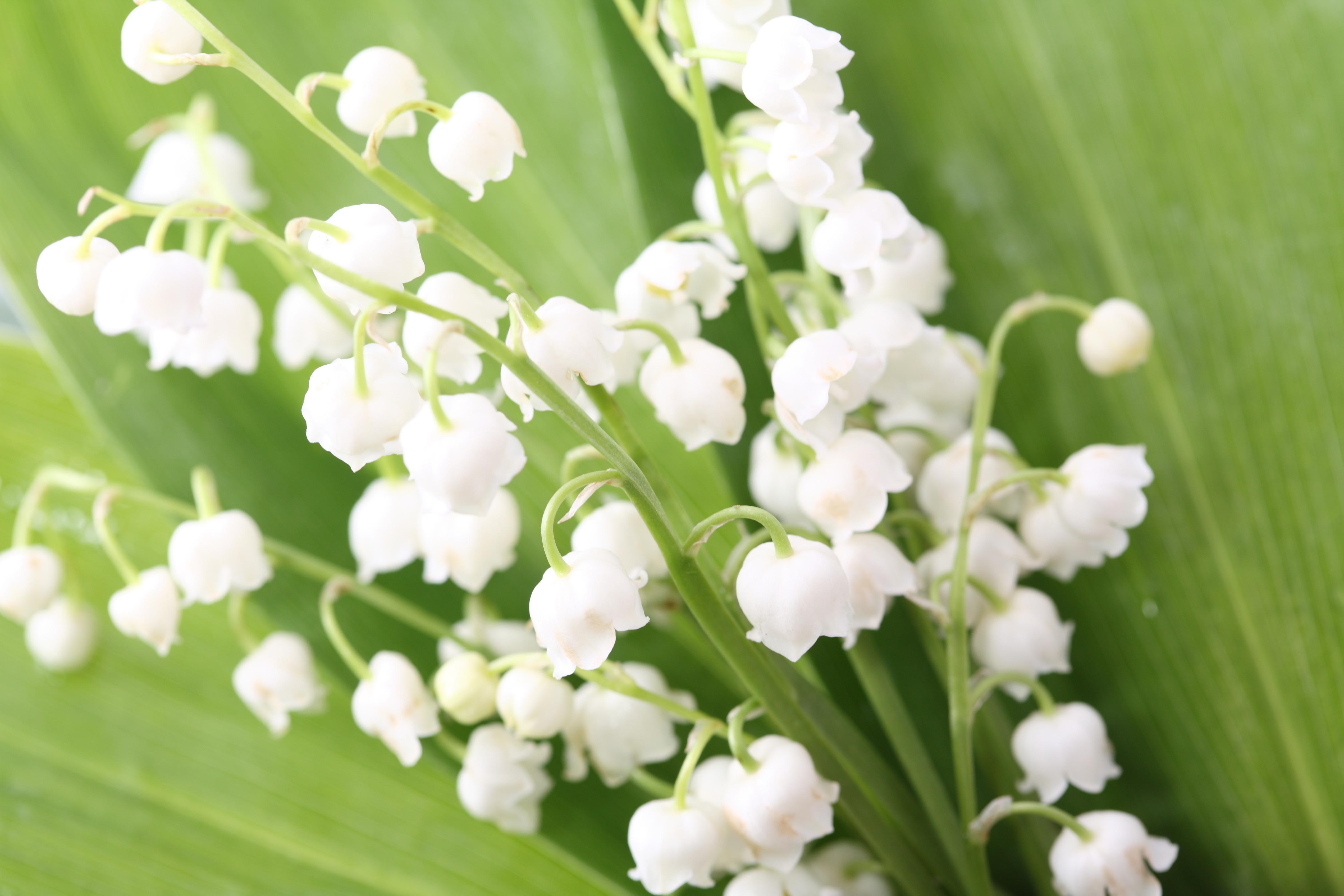 119932 免費下載壁紙 花卉, 风信子, 叶, 春天, 铃兰 屏保和圖片