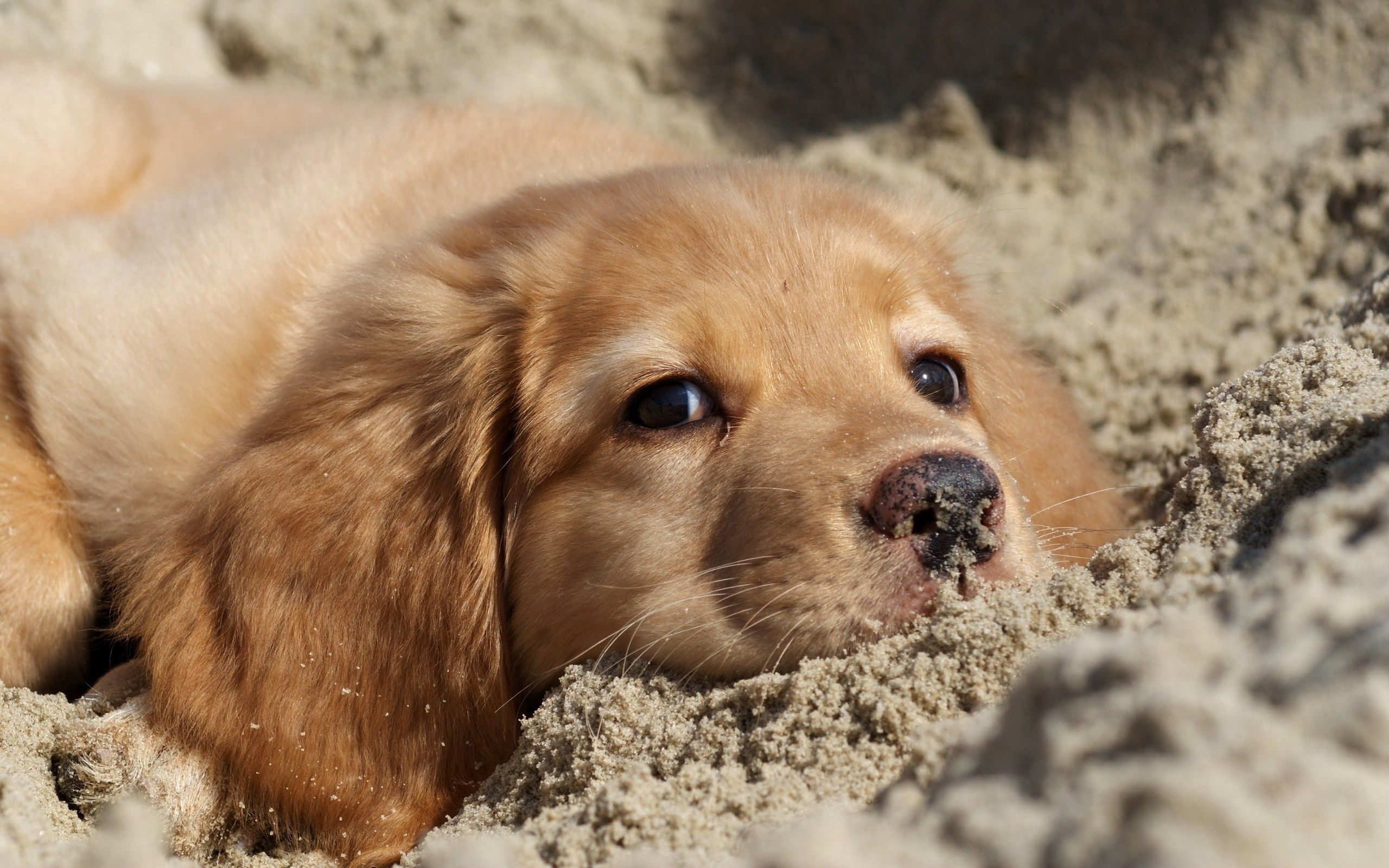 149167 download wallpaper Animals, Dog, Labrador, Puppy, Sand, Muzzle screensavers and pictures for free