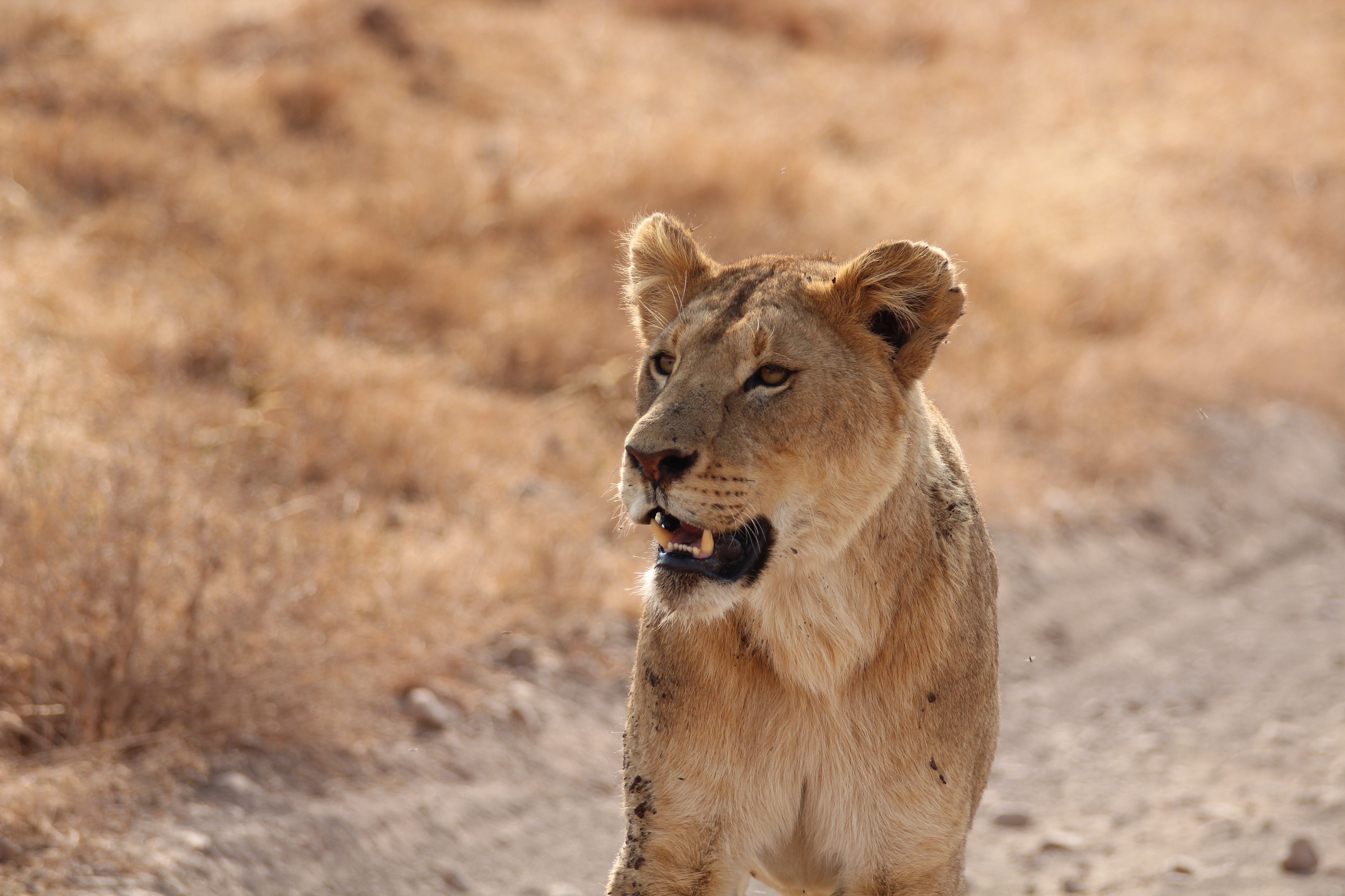 56185 download wallpaper Animals, Lioness, Predator, Lion, Grin screensavers and pictures for free