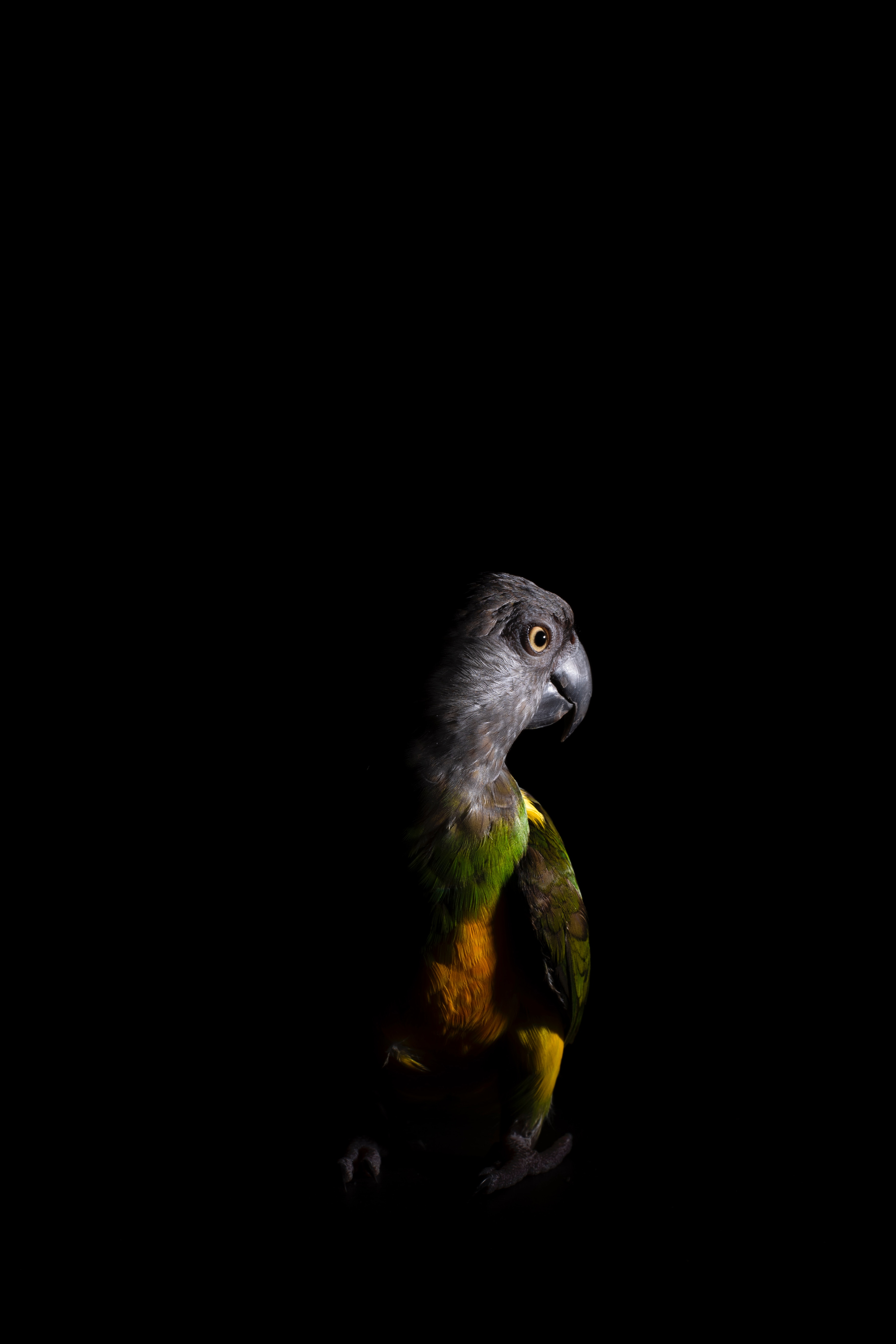 89464 Screensavers and Wallpapers Parrots for phone. Download Parrots, Animals, Dark, Bird, Color pictures for free