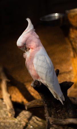 129797 baixar papel de parede Animais, Cacatua, Papagaios, Pássaro, Galho, Ramo, Pena - protetores de tela e imagens gratuitamente