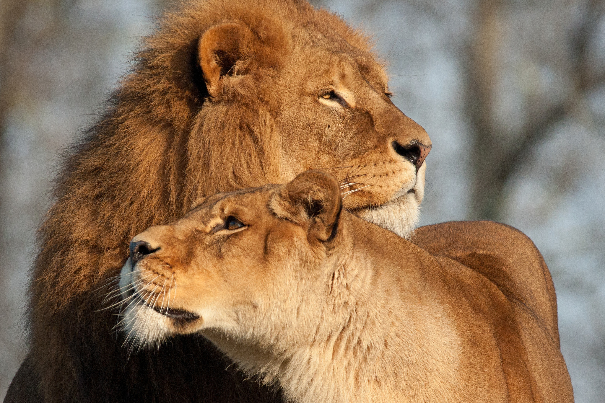 78224 Screensavers and Wallpapers Predators for phone. Download Animals, Predators, Lion, Lioness, Tenderness pictures for free