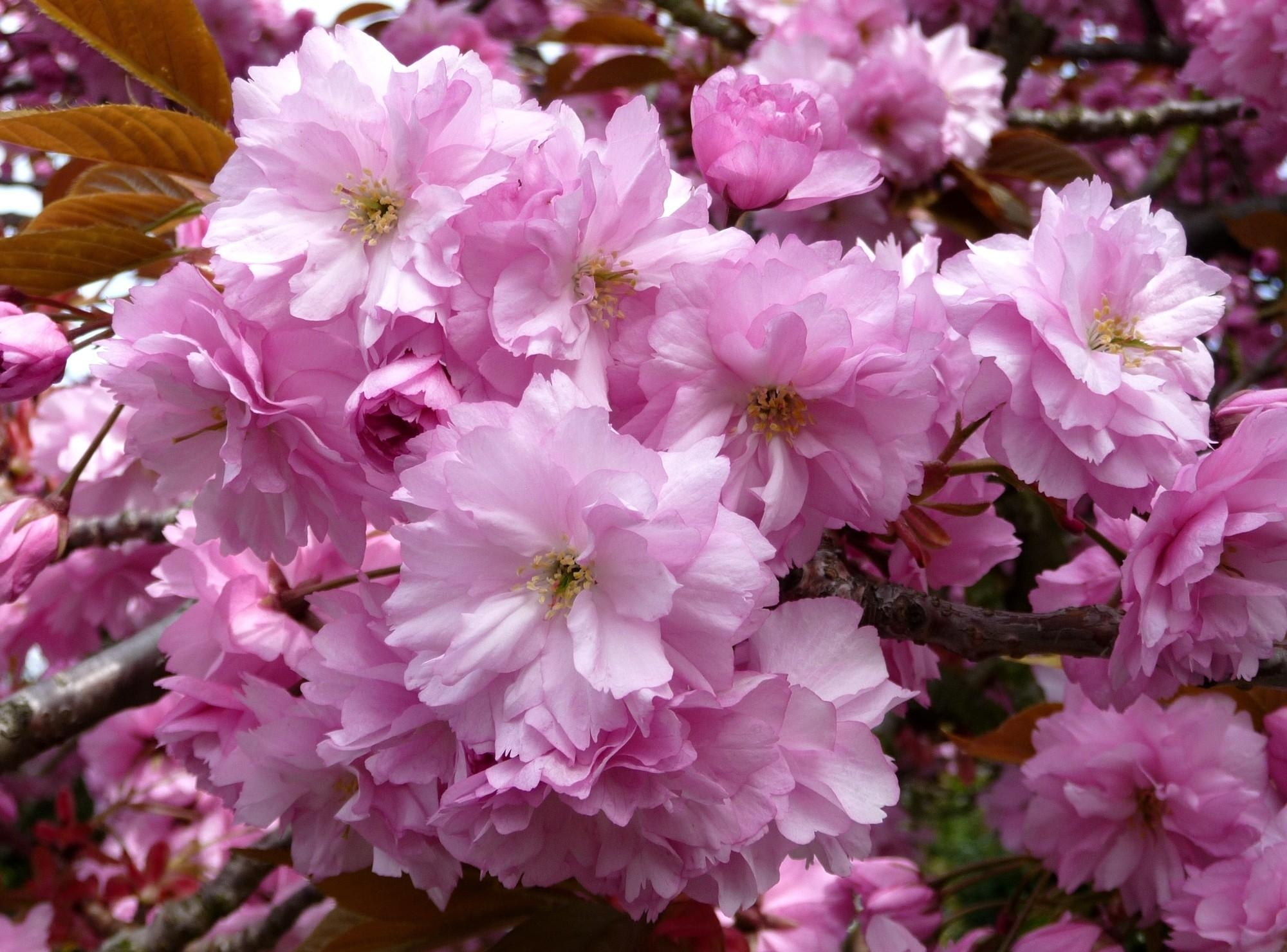 77272 Заставки и Обои Сакура на телефон. Скачать Цветы, Сакура, Ветки, Цветение, Крупный План, Весна, Розовая картинки бесплатно