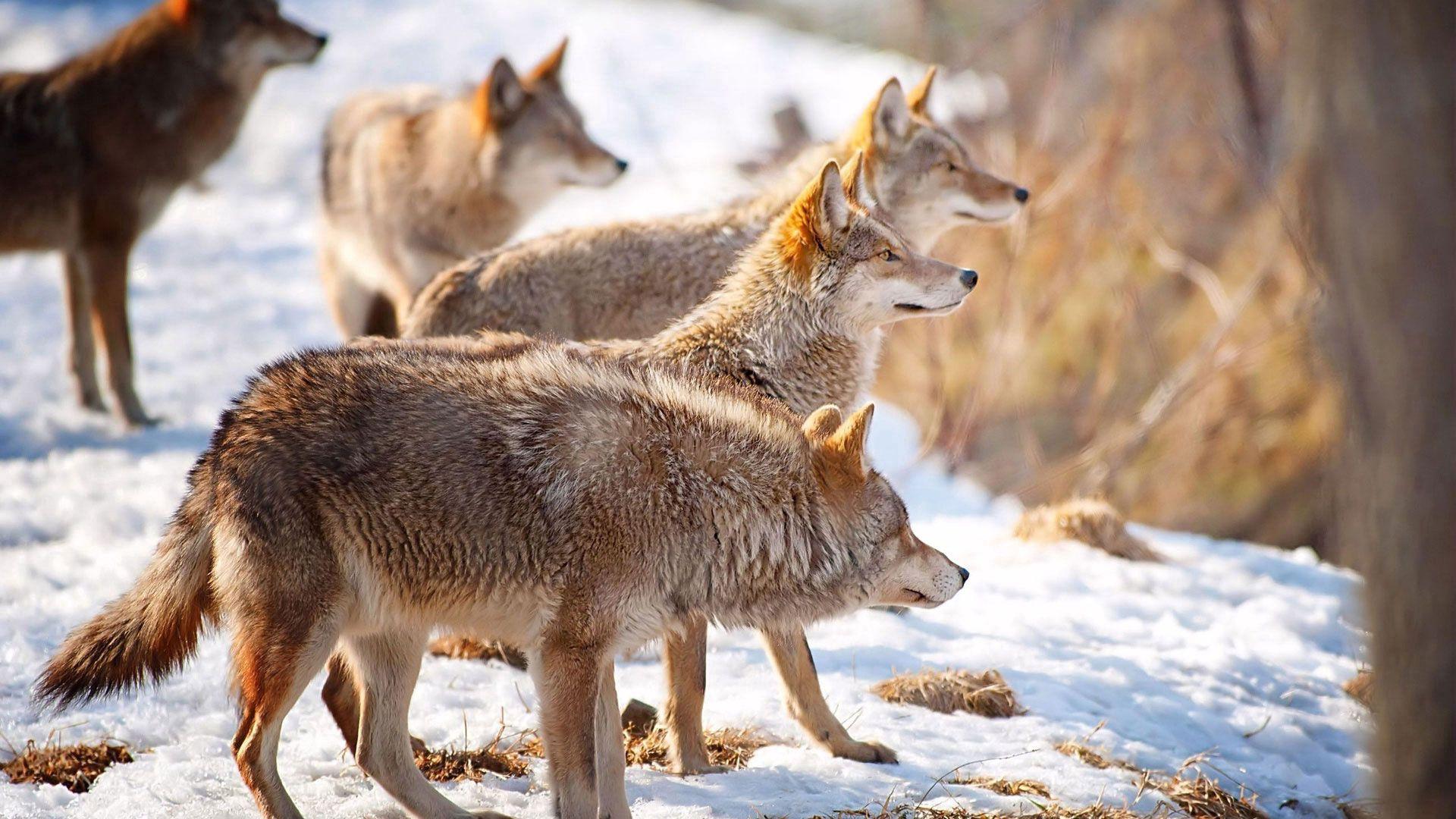 61337 télécharger le fond d'écran Animaux, Loups, Neige, Troupeau, Hiver, Chasse, Chasser - économiseurs d'écran et images gratuitement