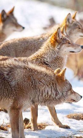 61337 завантажити шпалери Тварини, Вовки, Сніг, Зграя, Зима, Полювання, Полювати - заставки і картинки безкоштовно