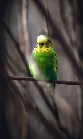128400 baixar papel de parede Animais, Periquito, Papagaio Ondulado, Papagaios, Pássaro, Galho, Ramo - protetores de tela e imagens gratuitamente