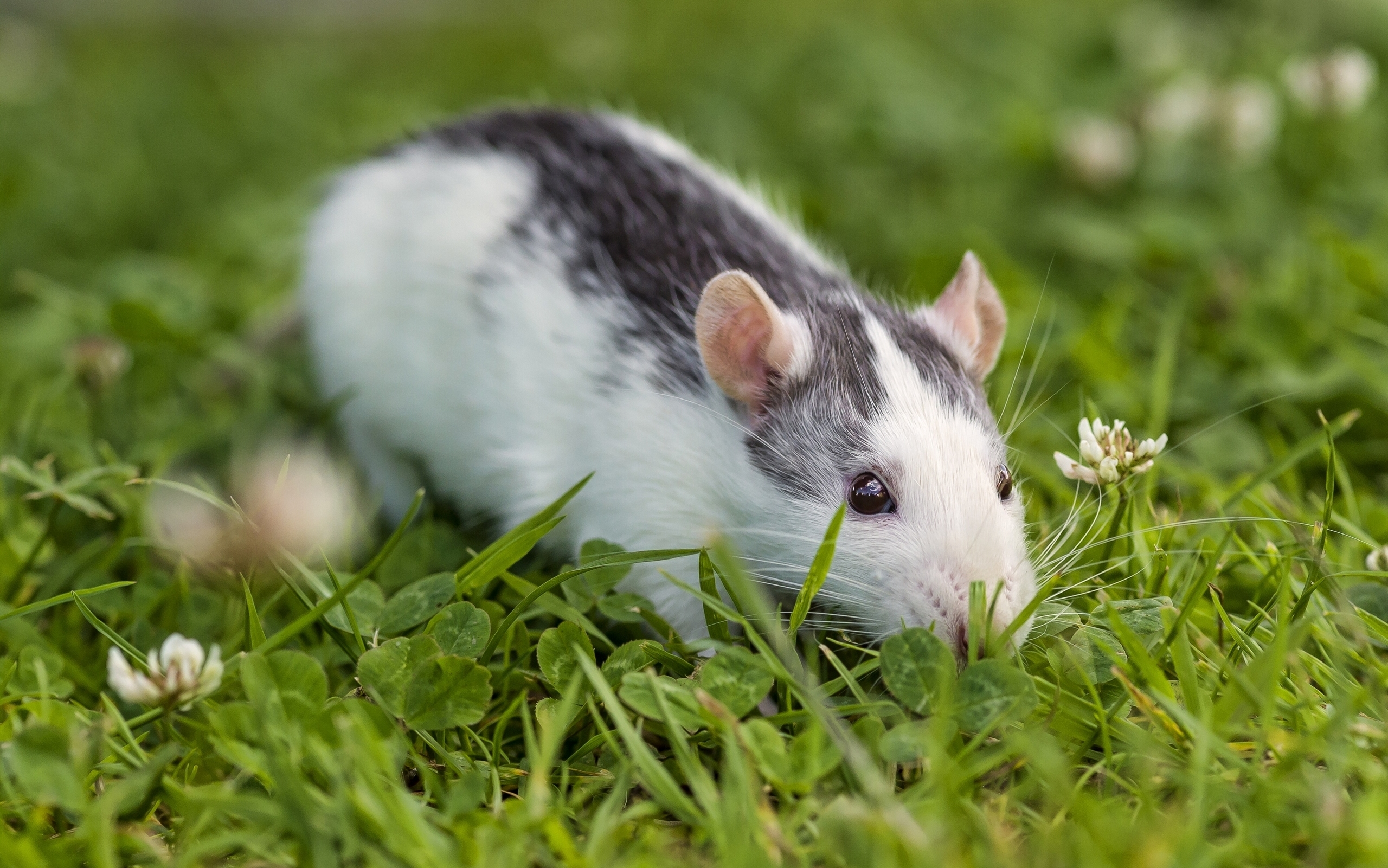 83349 download wallpaper Animals, Rat, Rodent, Eyes, Grass, Clover screensavers and pictures for free