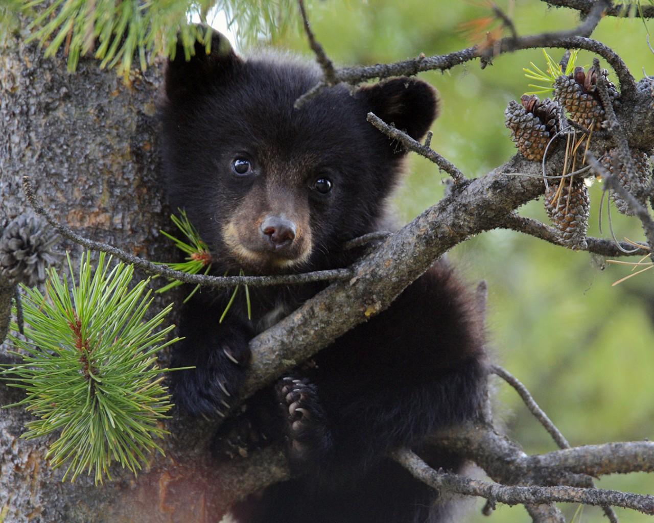 32941 Заставки и Обои Медведи на телефон. Скачать Медведи, Животные картинки бесплатно