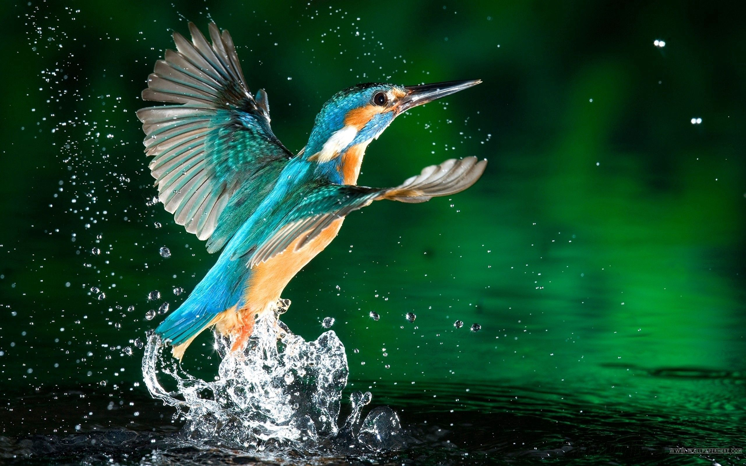104058 Screensavers and Wallpapers Bird for phone. Download Humming-Birds, Animals, Bird, Spray pictures for free
