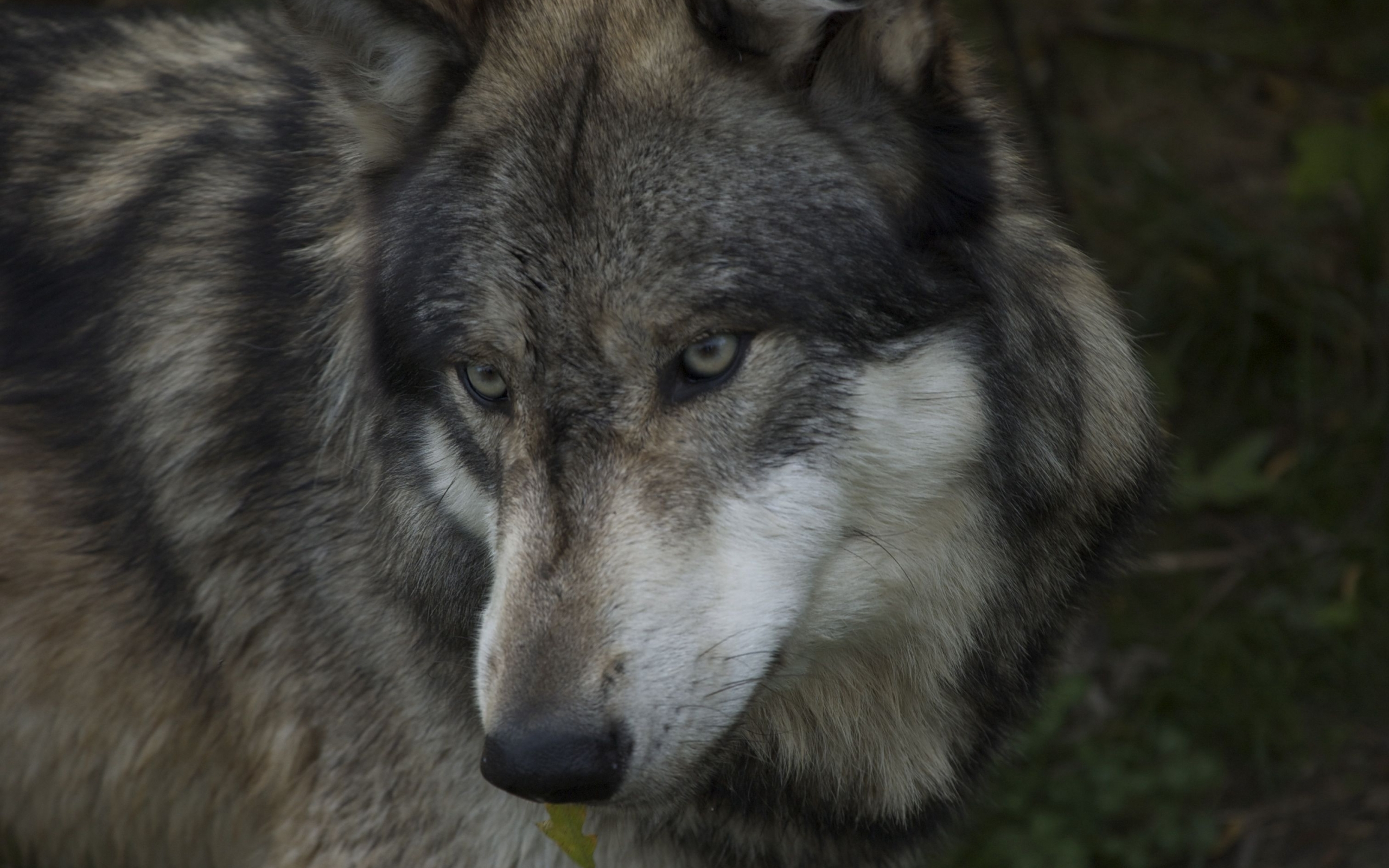 3231 download wallpaper Animals, Wolfs screensavers and pictures for free