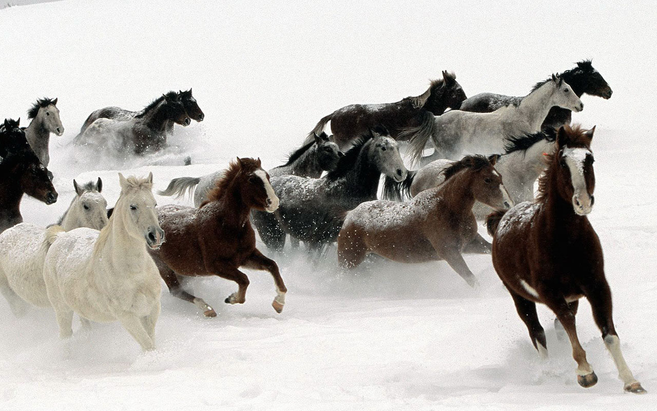 16045 download wallpaper Animals, Winter, Horses screensavers and pictures for free