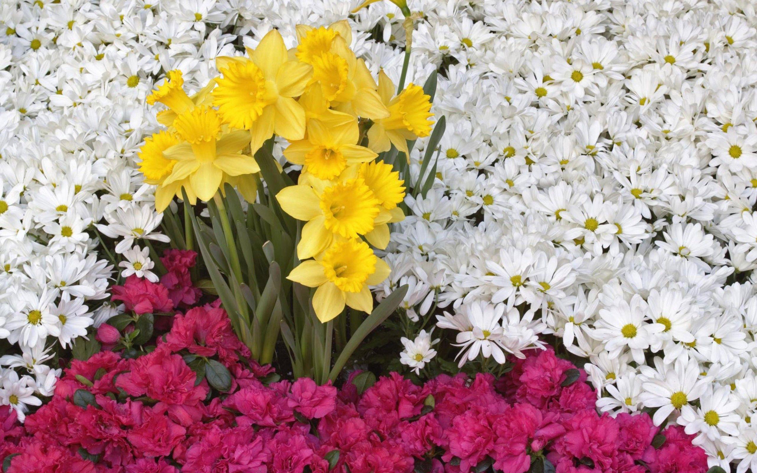 111048 Заставки и Обои Нарциссы на телефон. Скачать Цветы, Ромашки, Нарциссы картинки бесплатно