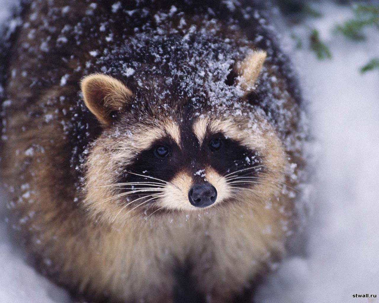 6572 download wallpaper Animals, Raccoons screensavers and pictures for free