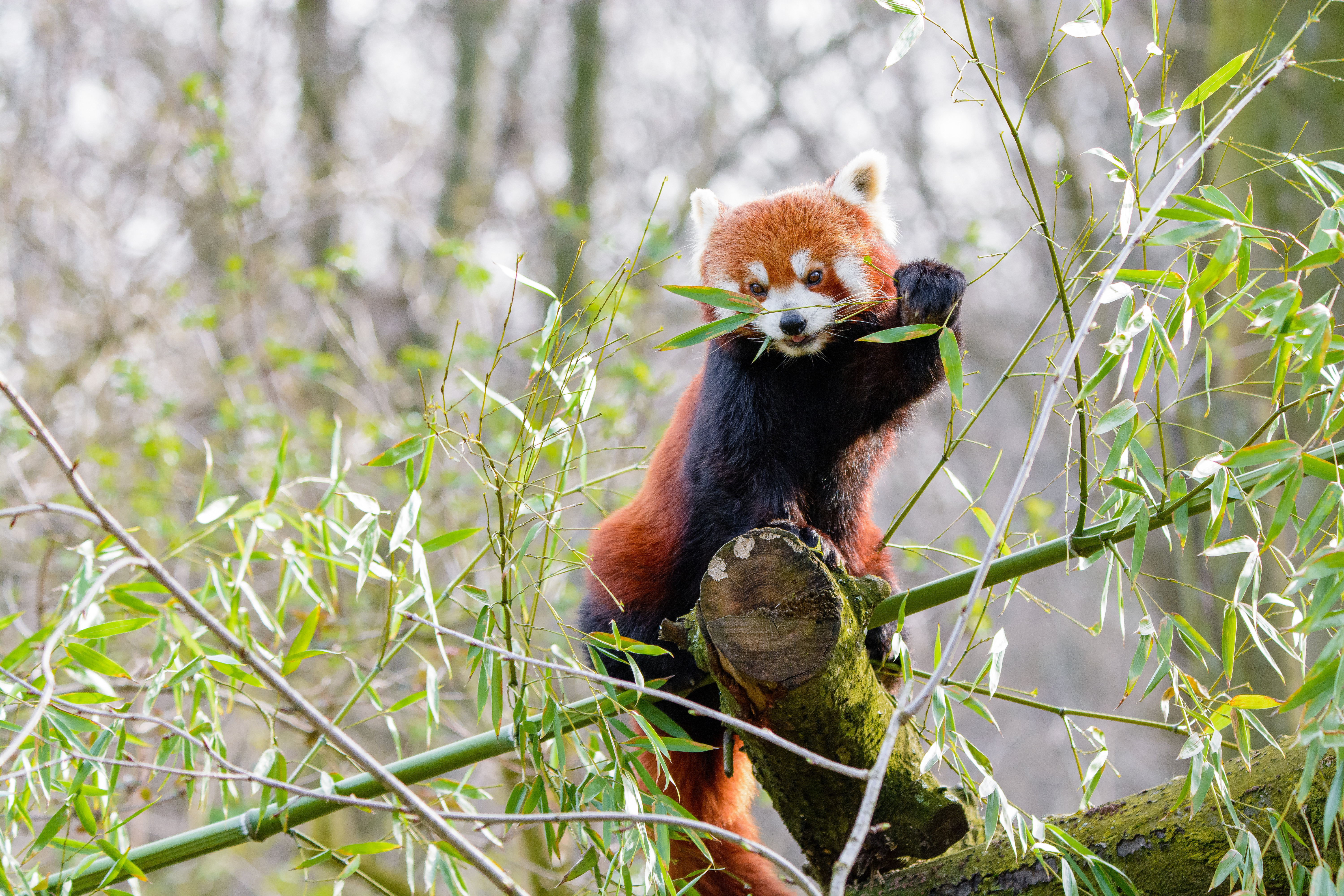 87045 download wallpaper Animals, Red Panda, Branches, Bamboo screensavers and pictures for free