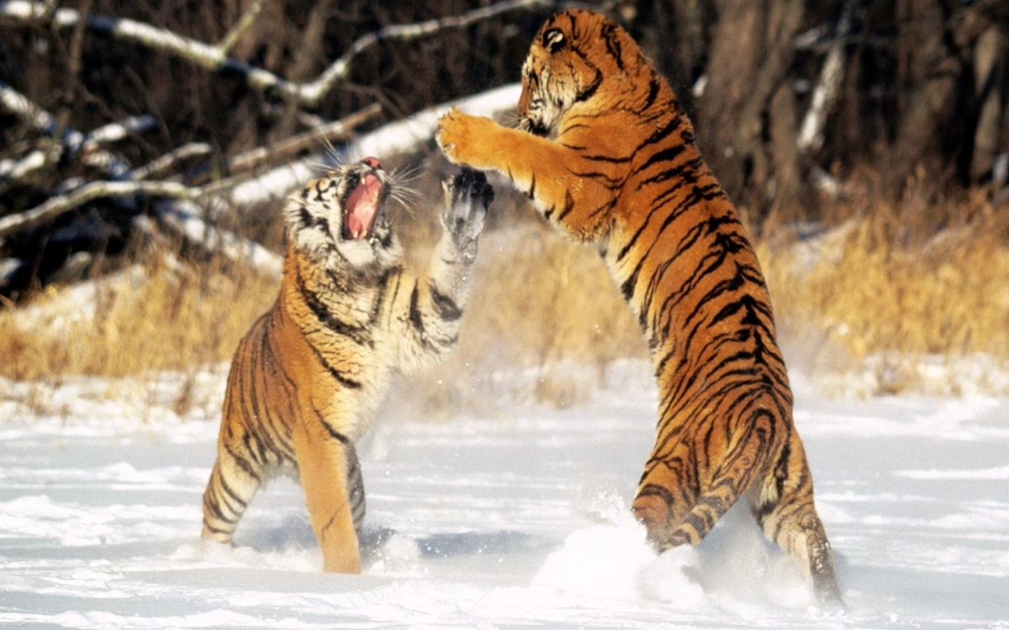40137 download wallpaper Animals, Tigers screensavers and pictures for free