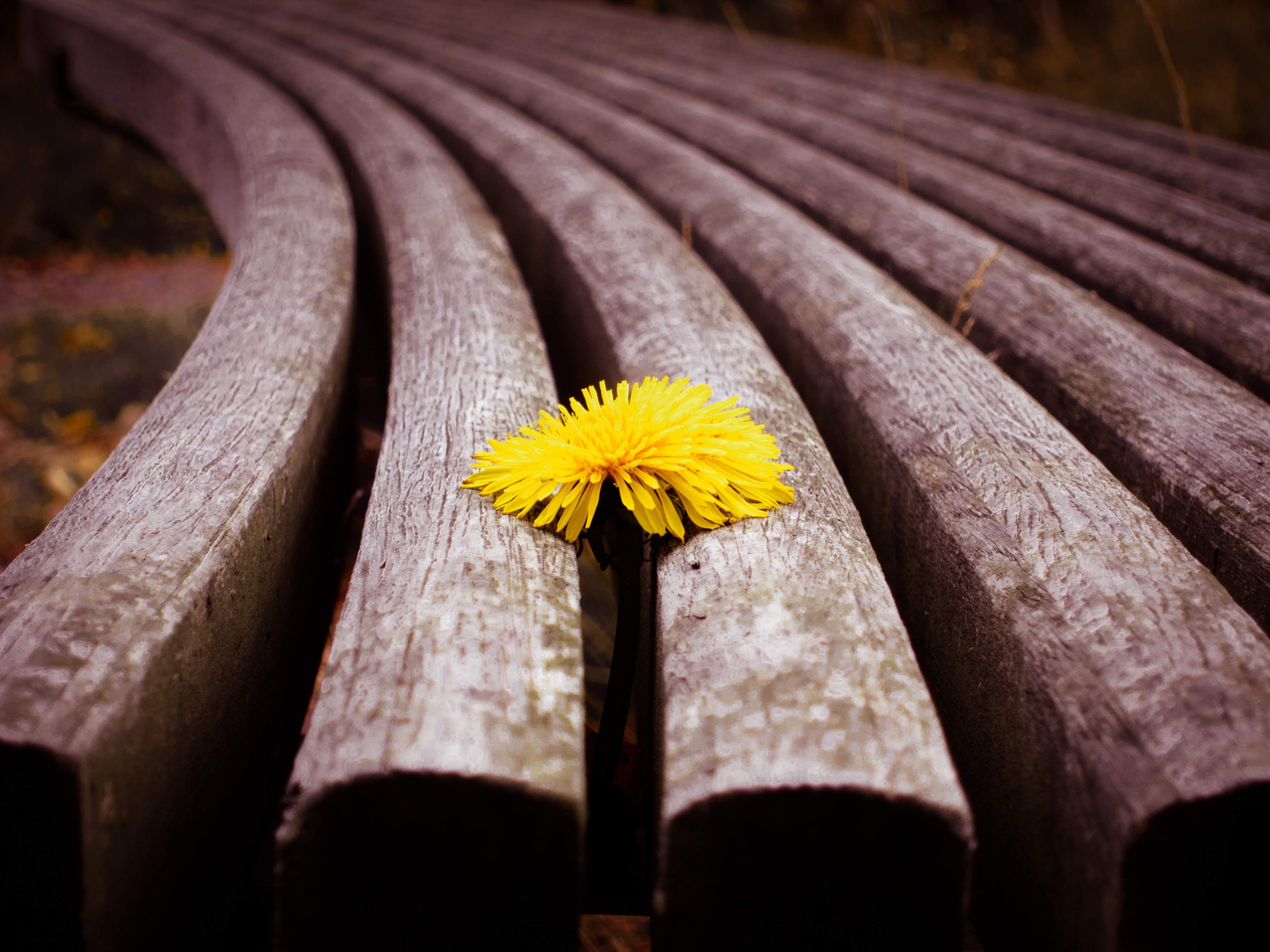 154382 download wallpaper Macro, Planks, Board, Dandelion, Flower screensavers and pictures for free