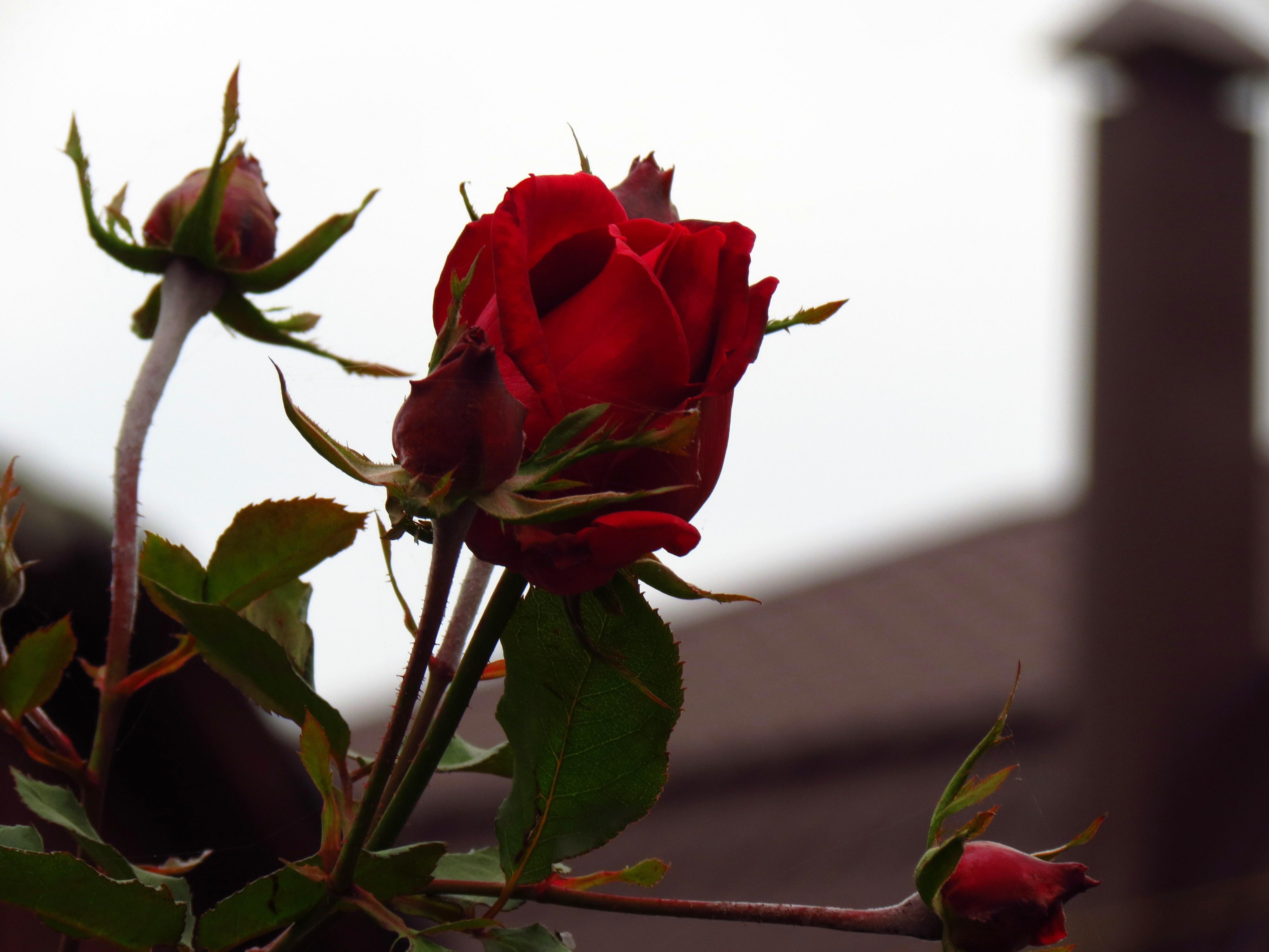 22242 télécharger le fond d'écran Plantes, Fleurs, Roses - économiseurs d'écran et images gratuitement