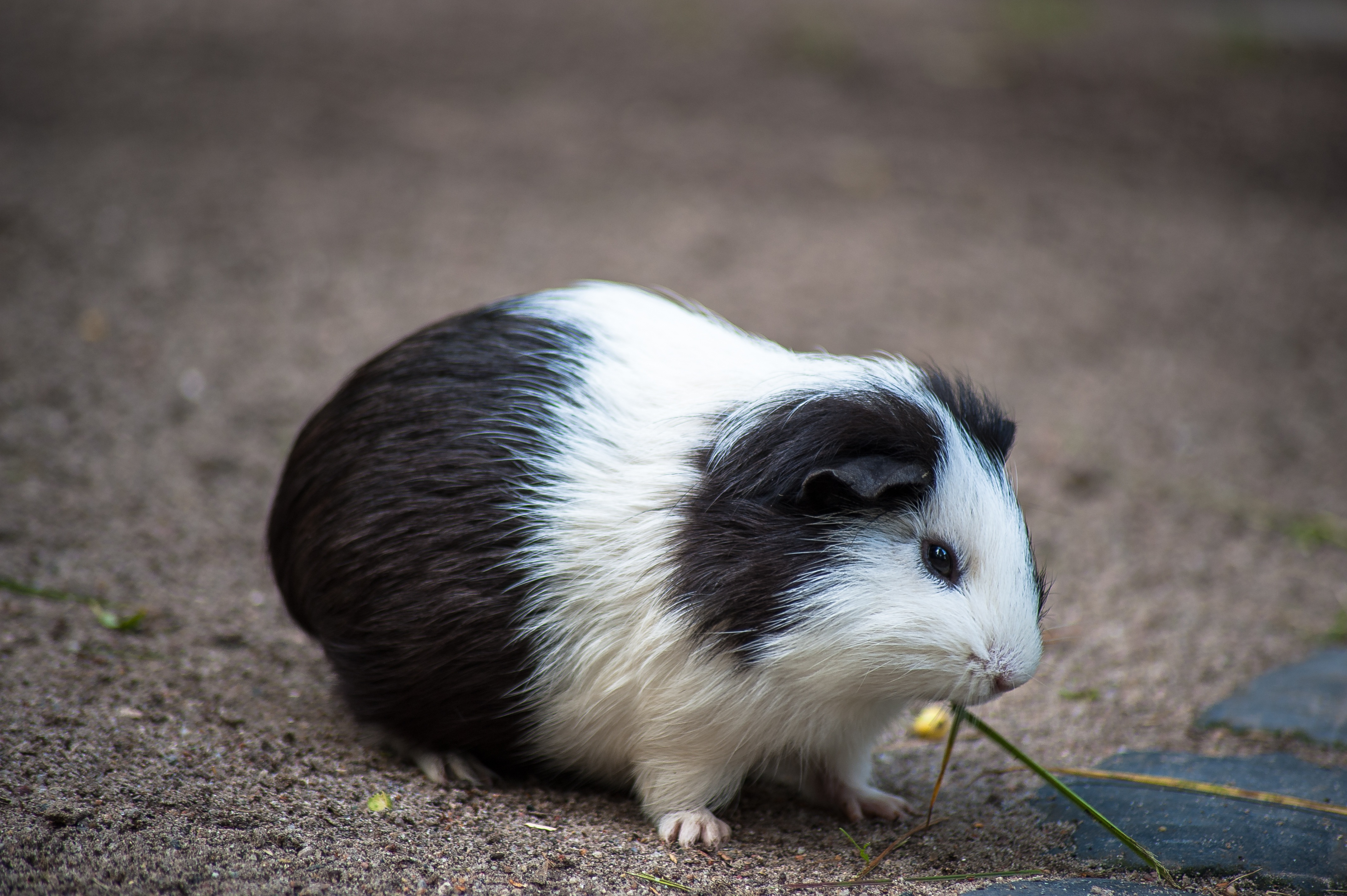 100465 download wallpaper Animals, Guinea Pig, Rodent, Spotted, Spotty screensavers and pictures for free