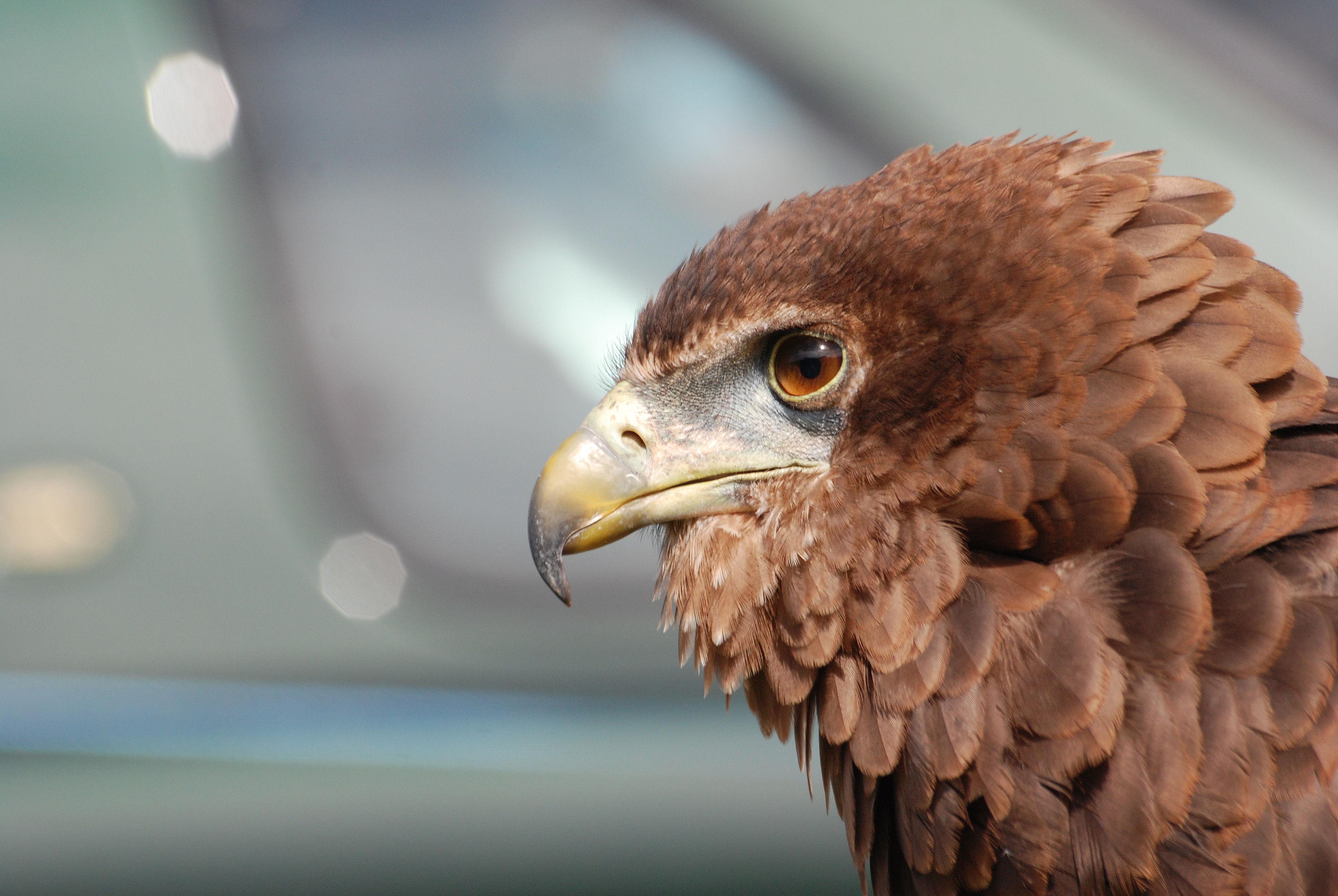 75298 Hintergrundbild herunterladen Tiere, Vogel, Schnabel, Raubtier, Predator, Adler - Bildschirmschoner und Bilder kostenlos
