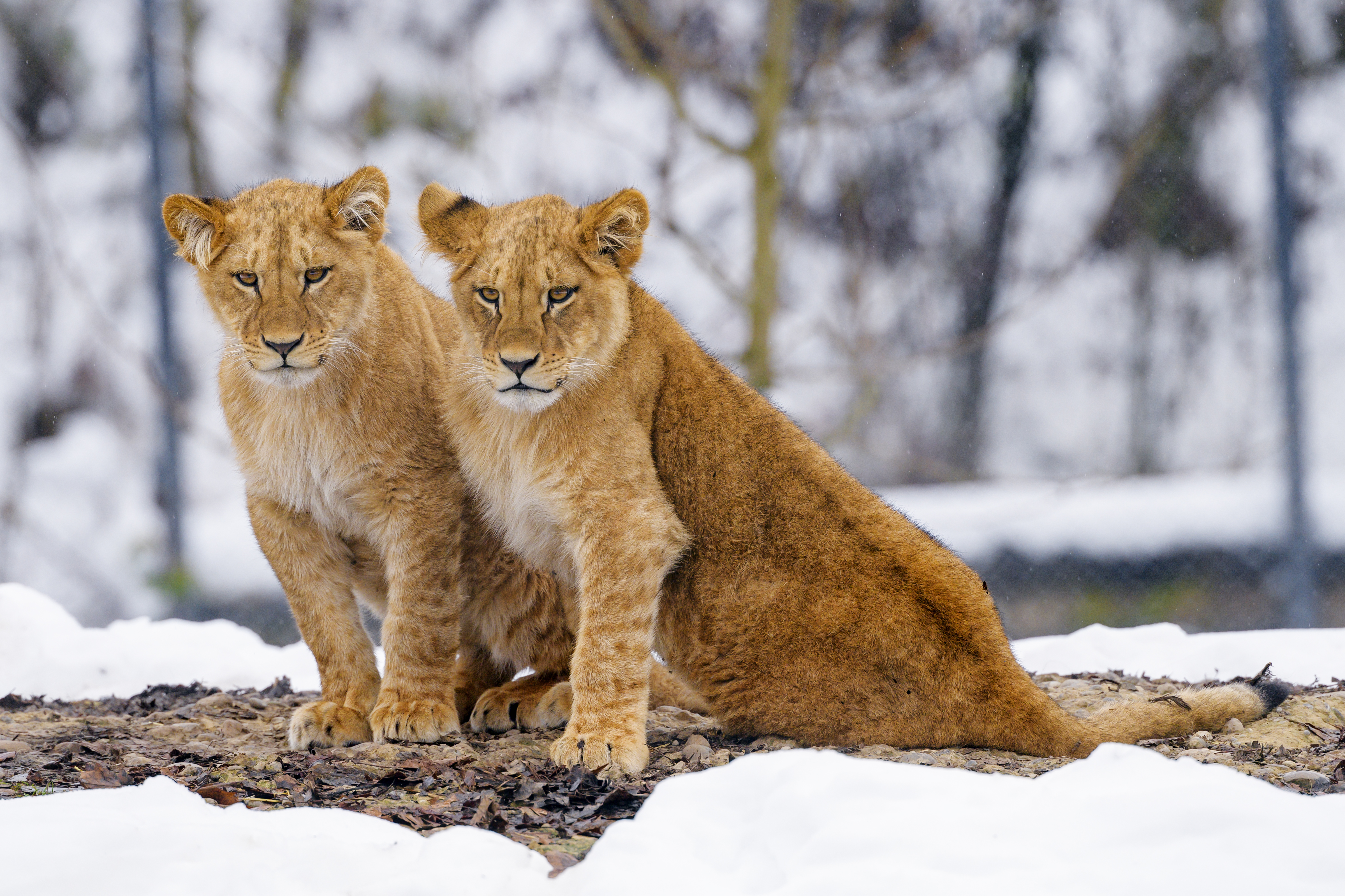 129734 download wallpaper Animals, Lion Cubs, Big Cat, Wildlife, Lions screensavers and pictures for free