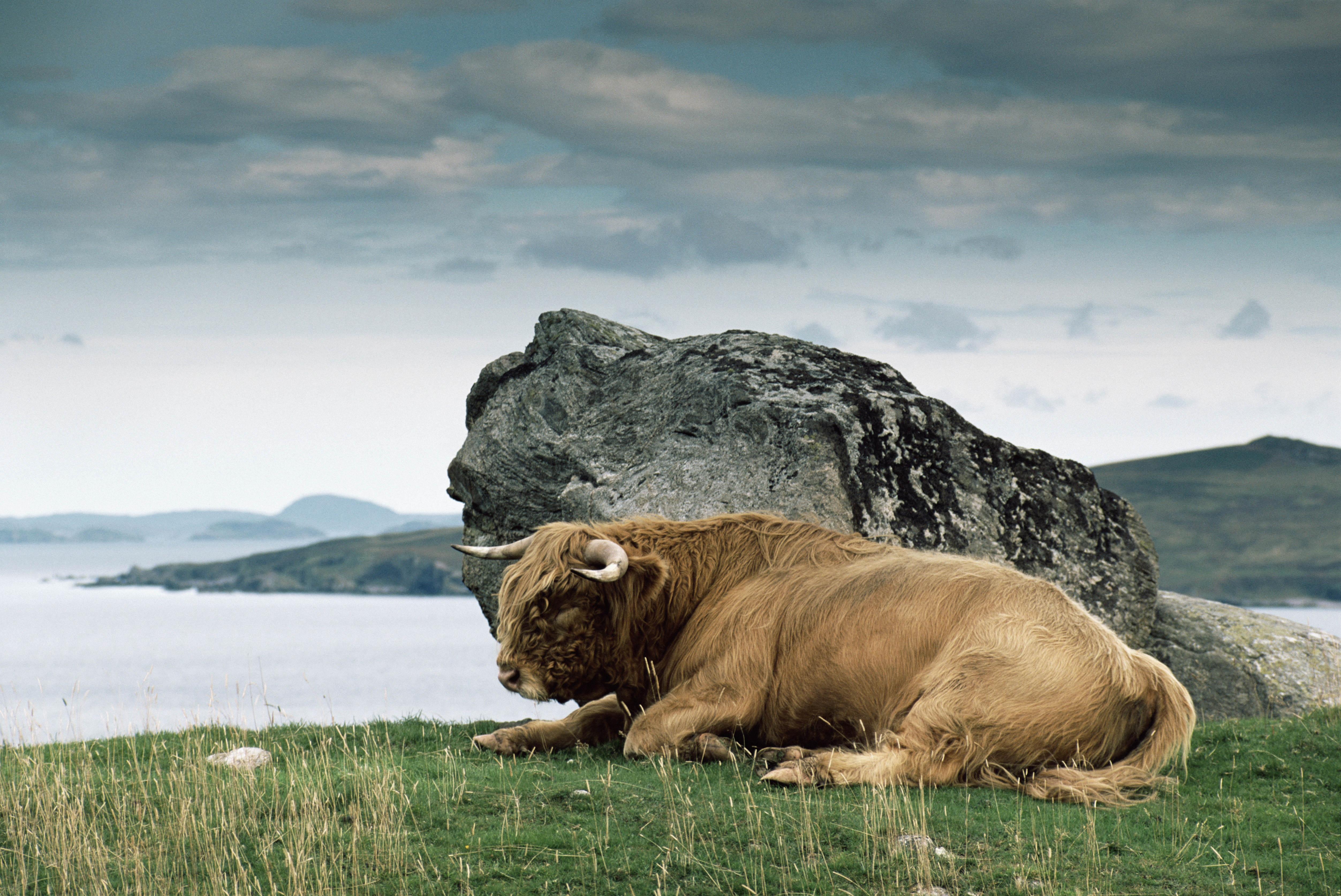 139181 Hintergrundbild herunterladen Tiere, Natur, Stein, Ein Stein, Hörner, Bison, Auerochse - Bildschirmschoner und Bilder kostenlos