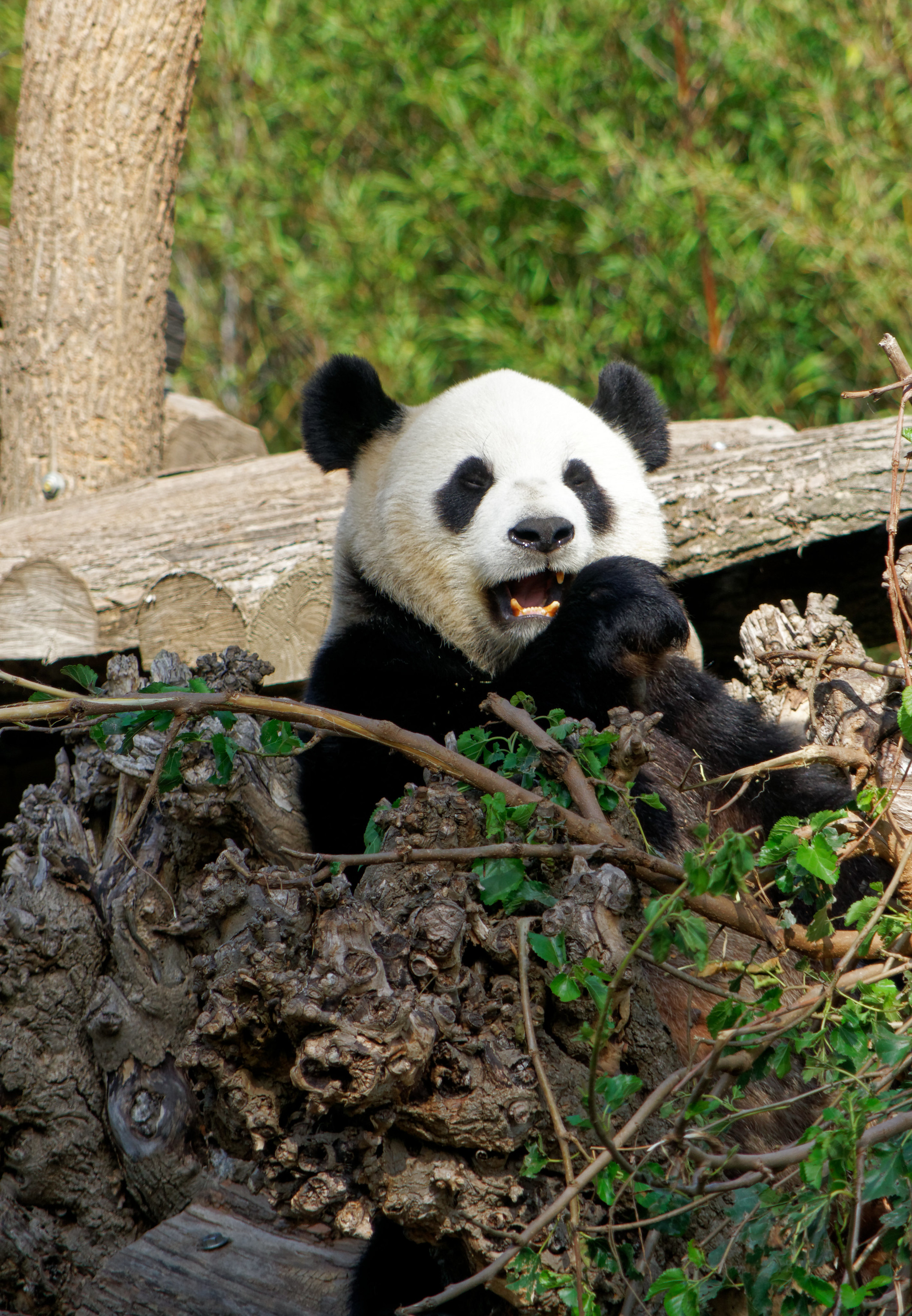 138572 download wallpaper Animals, Panda, Bear, Funny, Animal screensavers and pictures for free