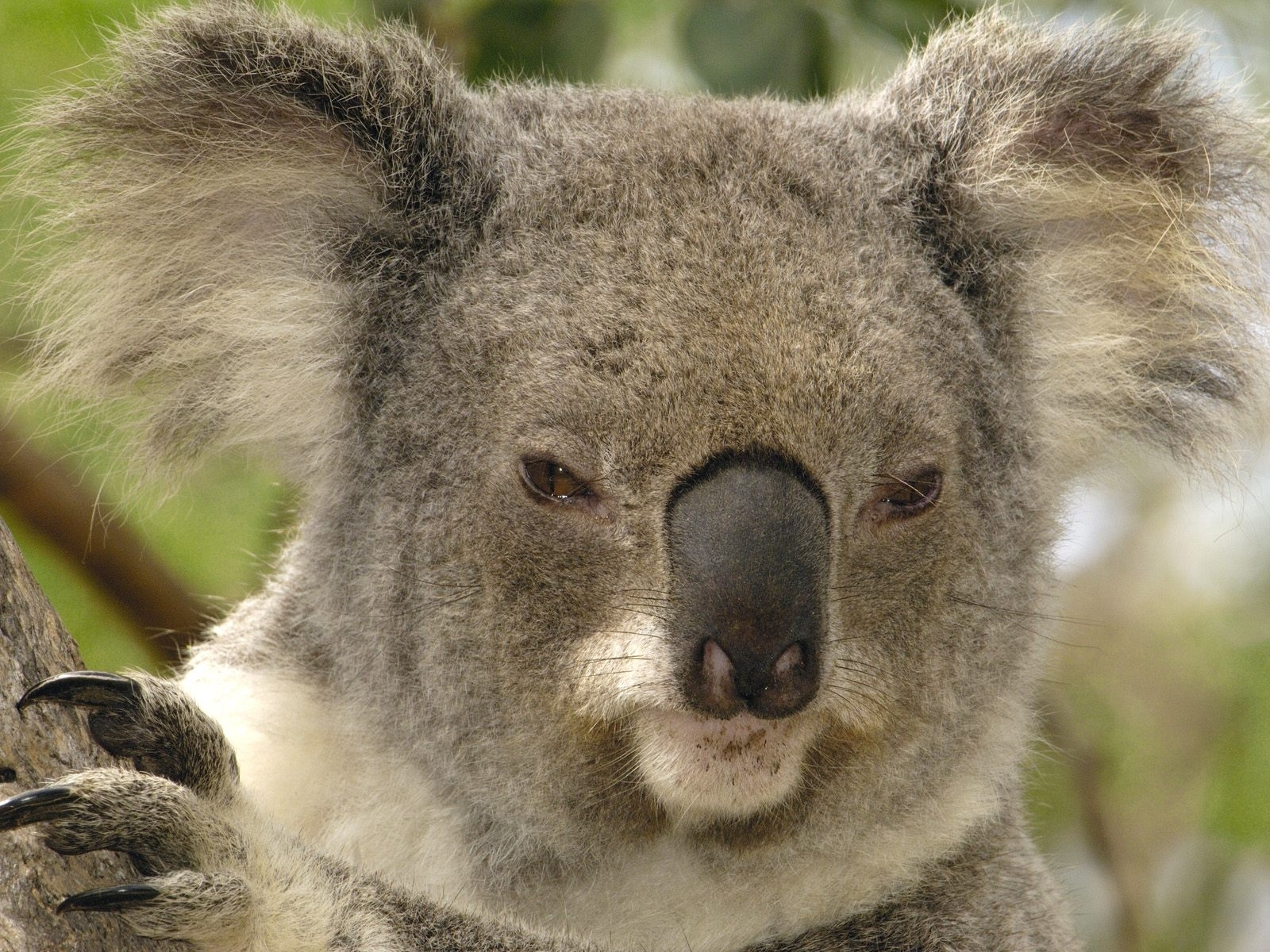 1535 download wallpaper Animals, Koalas screensavers and pictures for free
