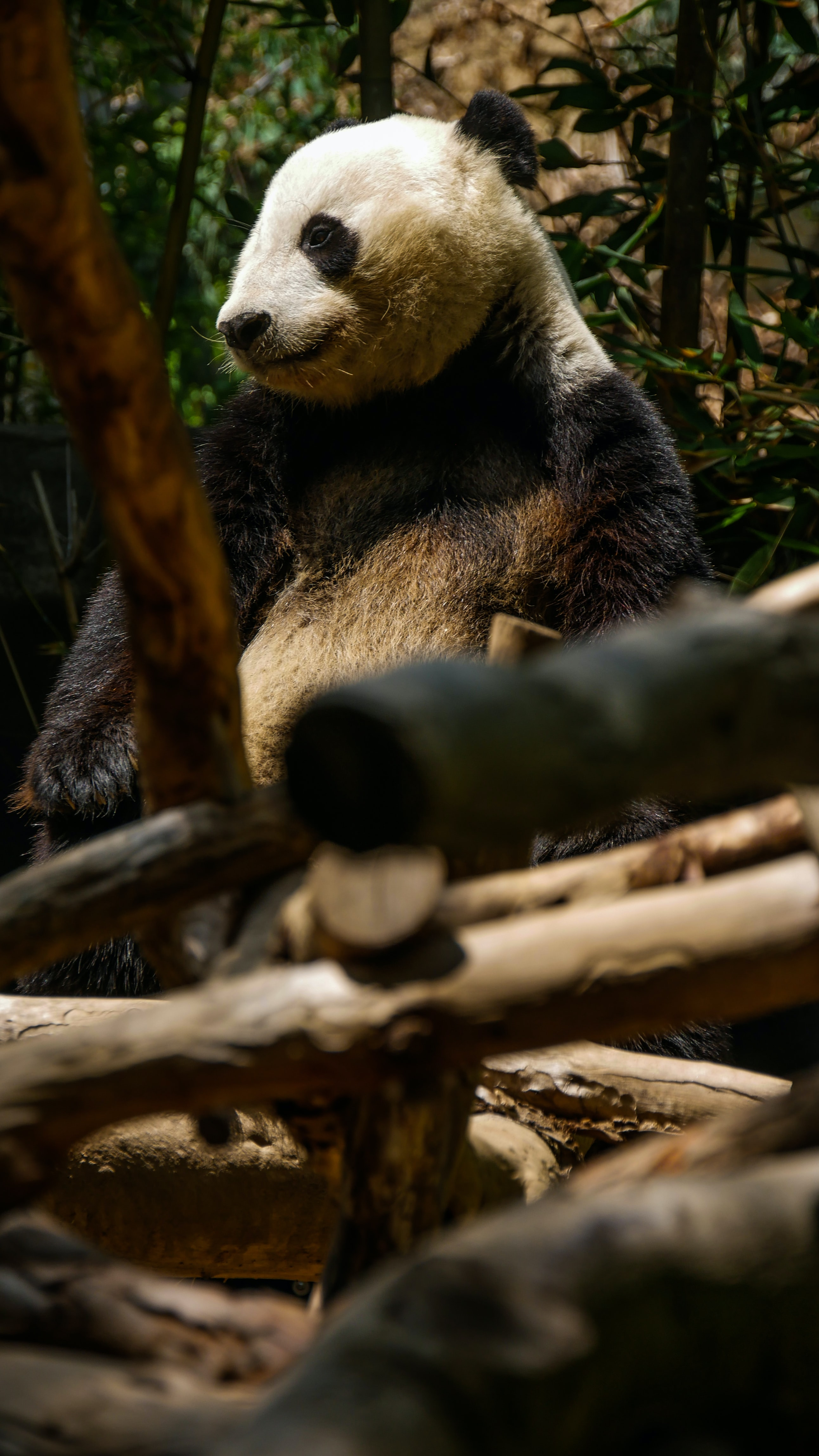 55715 download wallpaper Animals, Panda, Nice, Sweetheart, Trees, Bamboo screensavers and pictures for free