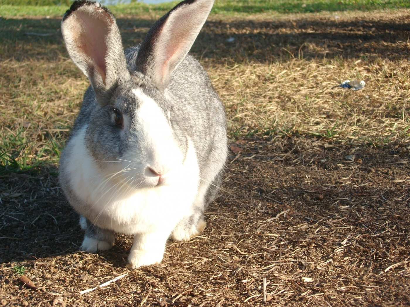 42398 download wallpaper Animals, Rabbits screensavers and pictures for free