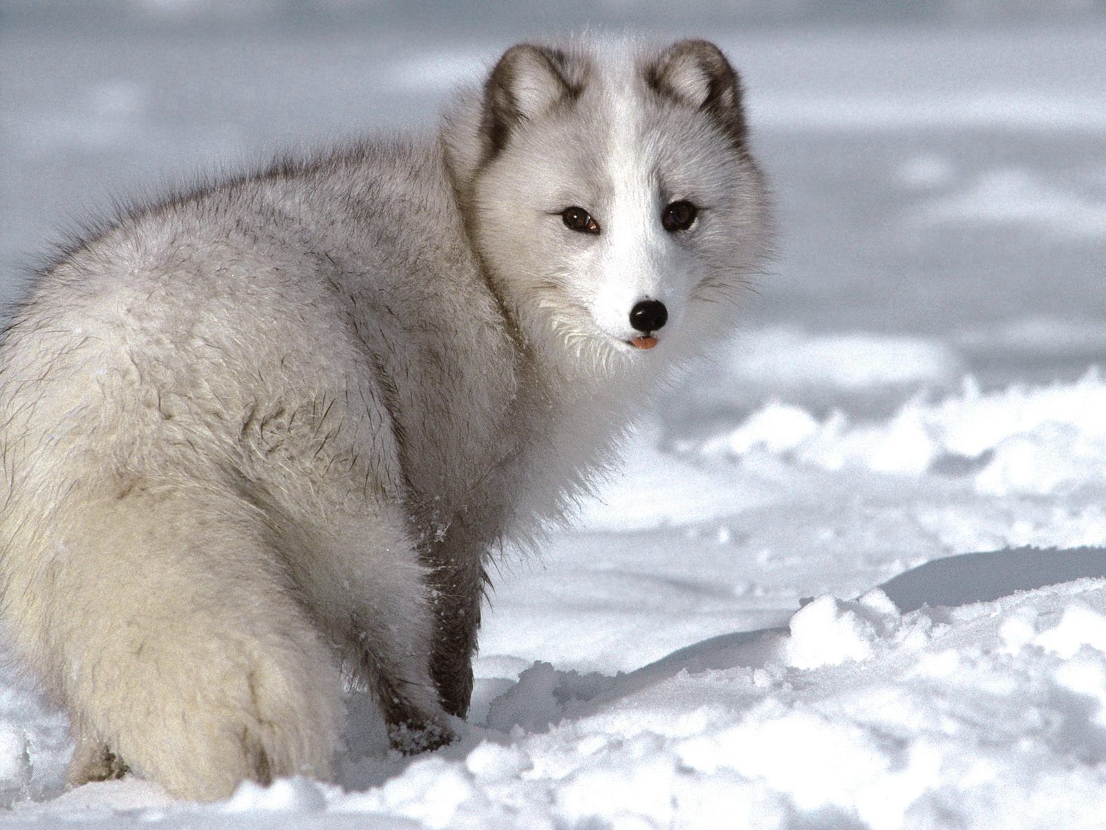 121927 Screensavers and Wallpapers Fox for phone. Download Animals, Winter, Snow, Fox pictures for free