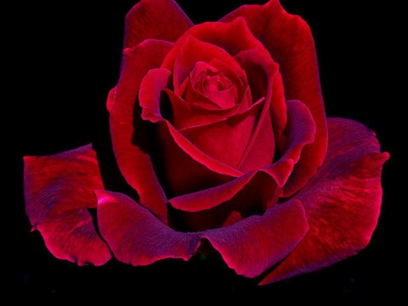 Скачать картинку Растения, Розы, Цветы в телефон бесплатно.