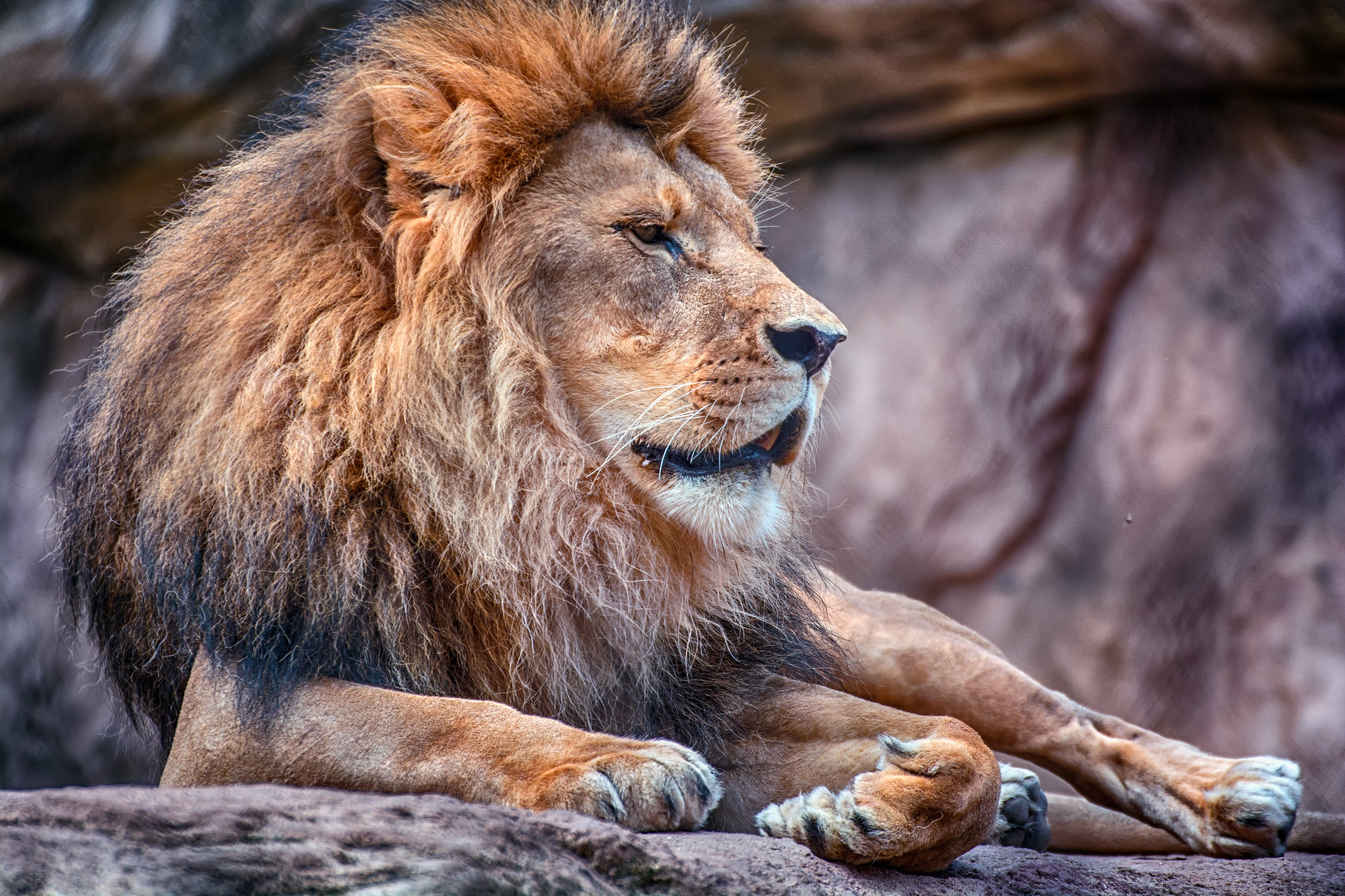 140312 download wallpaper Animals, Lion, Mane, Predator, Wild Cat, Wildcat screensavers and pictures for free