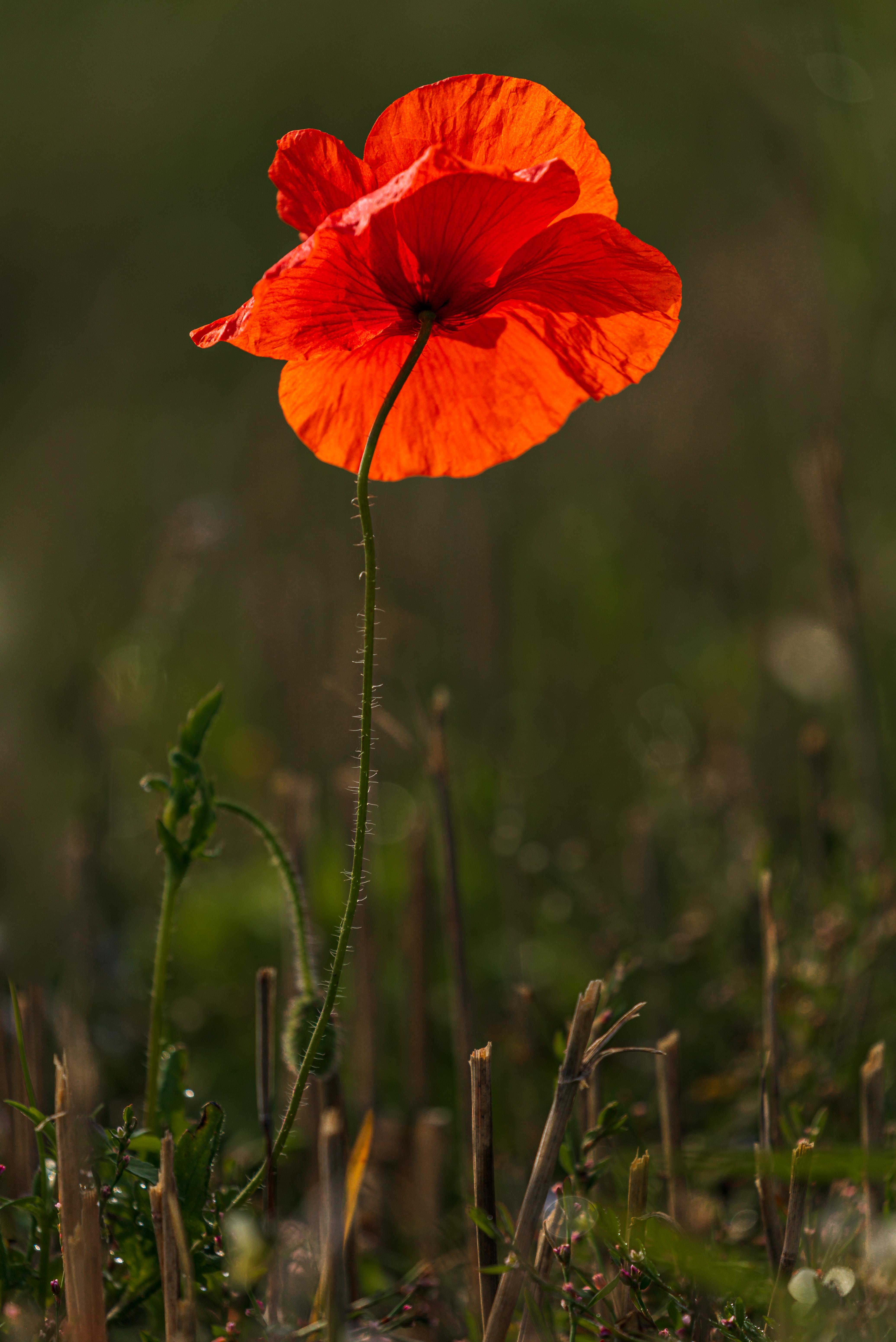 139268 скачать обои Цветы, Мак, Цветок, Красный, Яркий, Цветение - заставки и картинки бесплатно