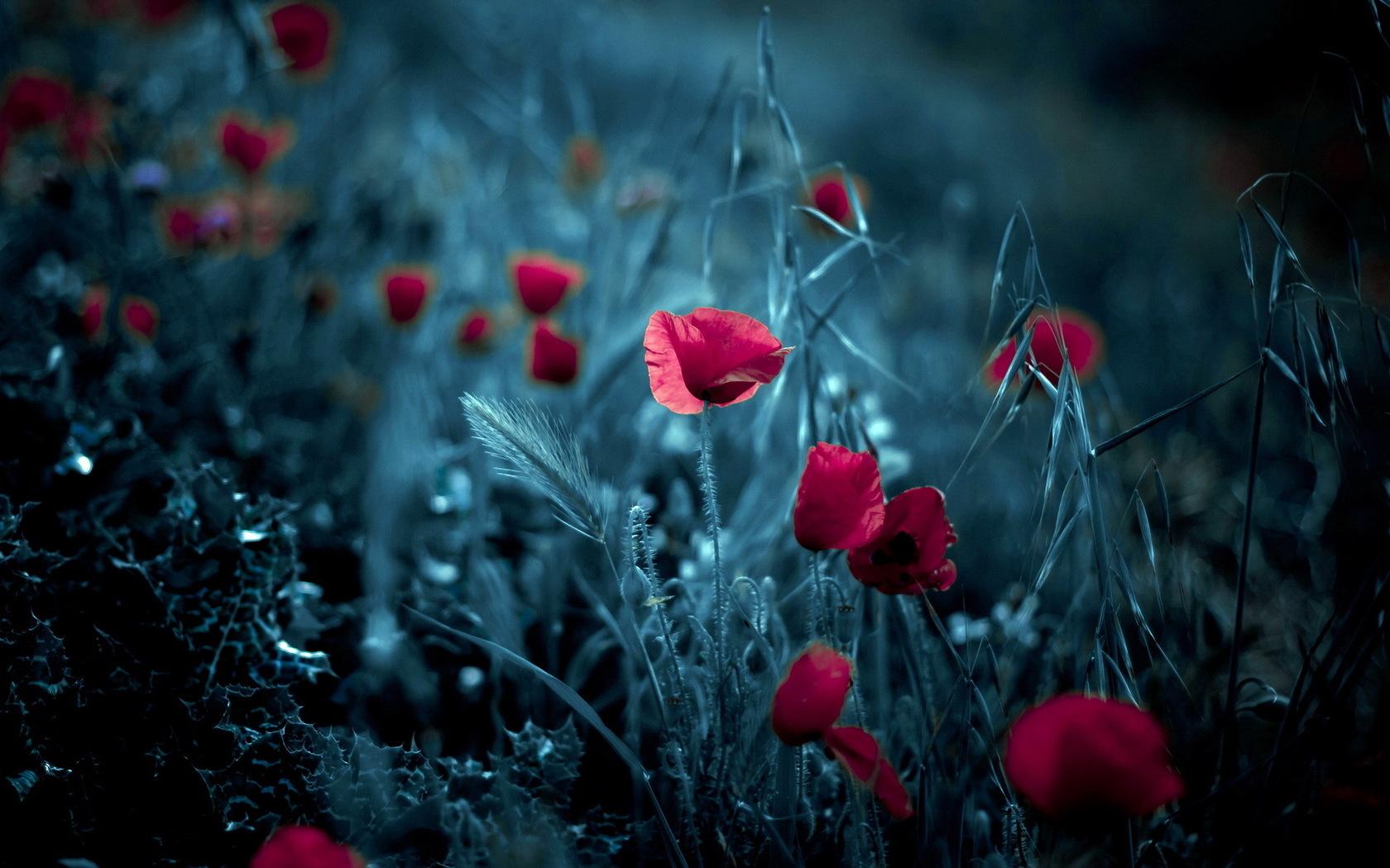 15407 скачать обои Растения, Цветы, Артфото, Маки - заставки и картинки бесплатно