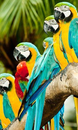 38911 baixar papel de parede Animais, Aves, Papagaios - protetores de tela e imagens gratuitamente