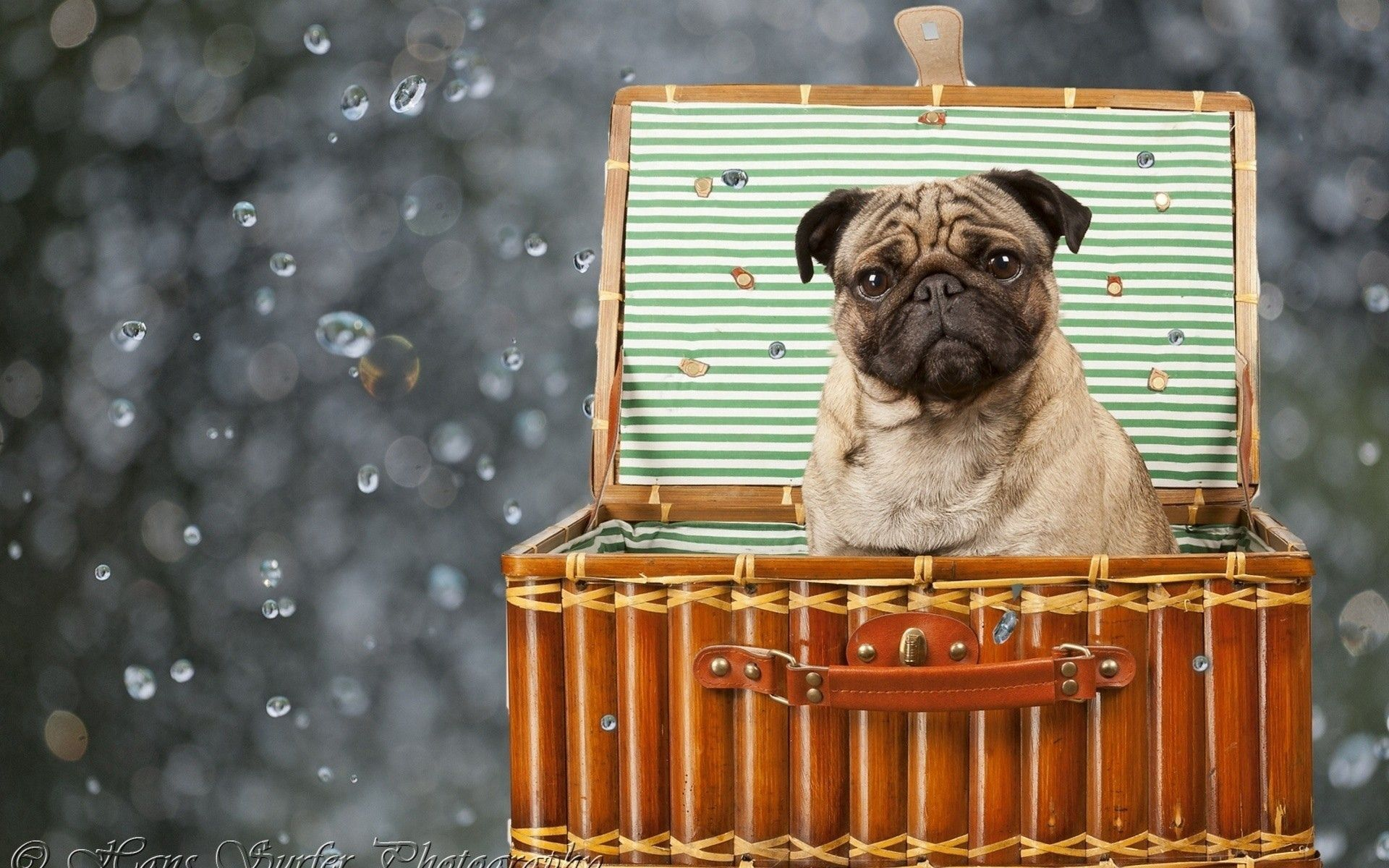152647 download wallpaper Animals, Pug, Dog, Basket, Sit, Puppy screensavers and pictures for free