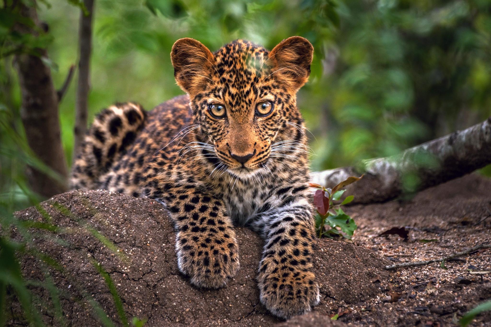 126292 обои 240x320 на телефон бесплатно, скачать картинки Большая Кошка, Хищник, Леопард, Животные, Морда 240x320 на мобильный