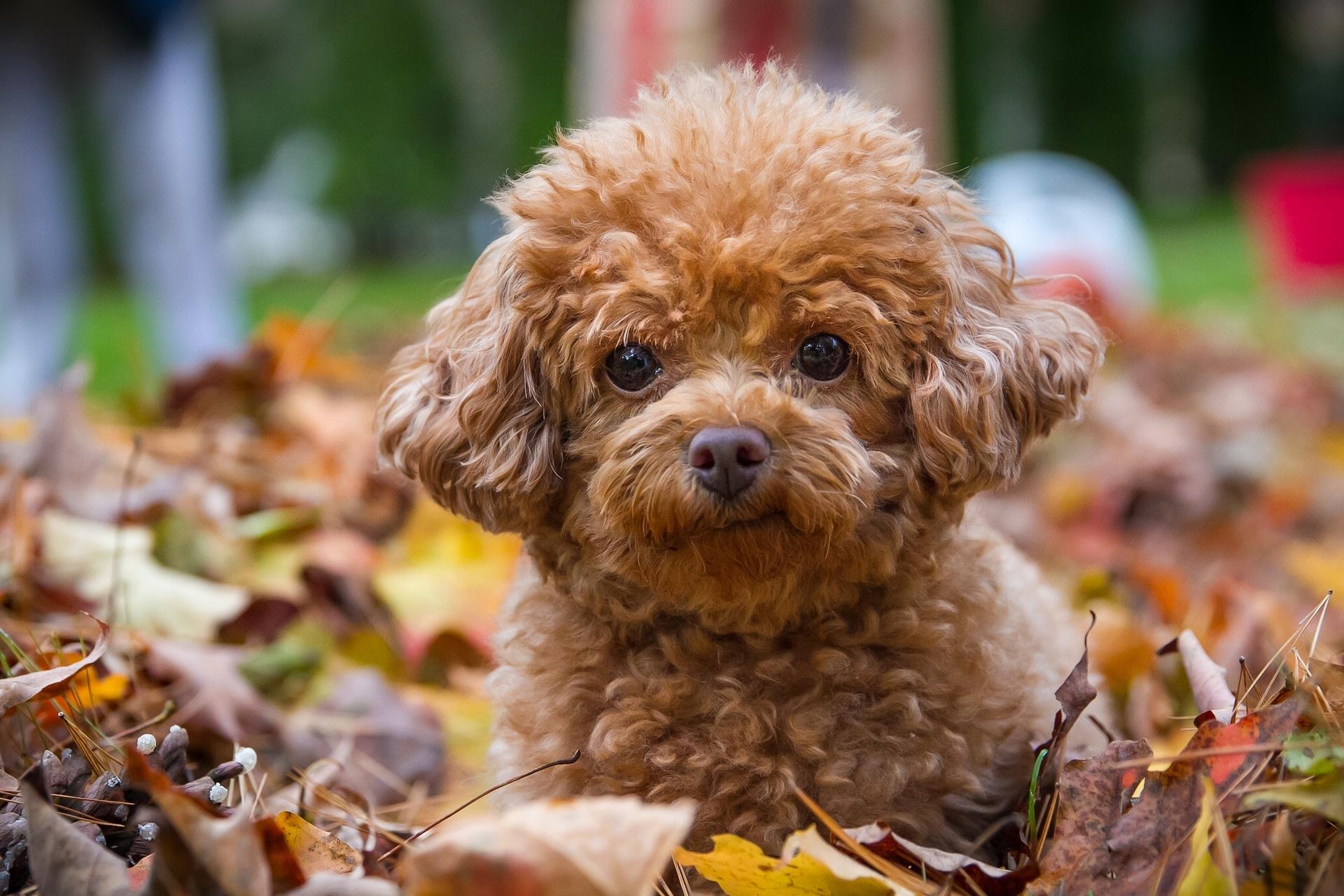140291 descargar fondo de pantalla Animales, Caniche, Perro, Cachorro, Follaje: protectores de pantalla e imágenes gratis