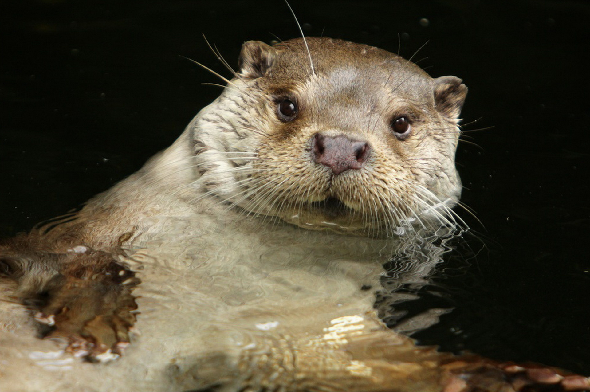 146693 download wallpaper Animals, Water, To Swim, Swim, Beast, Otter screensavers and pictures for free
