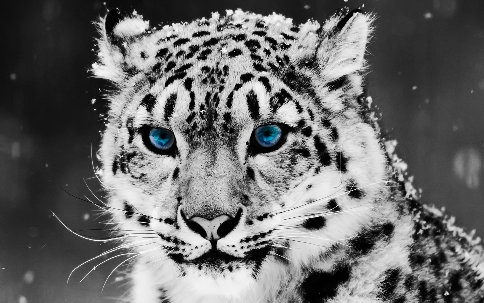 131 download wallpaper Cats, Animals, Winter, Snow Leopard screensavers and pictures for free