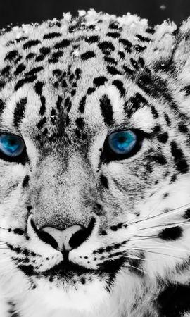 131 télécharger le fond d'écran Animaux, Hiver, Chats, Snow Leopard - économiseurs d'écran et images gratuitement